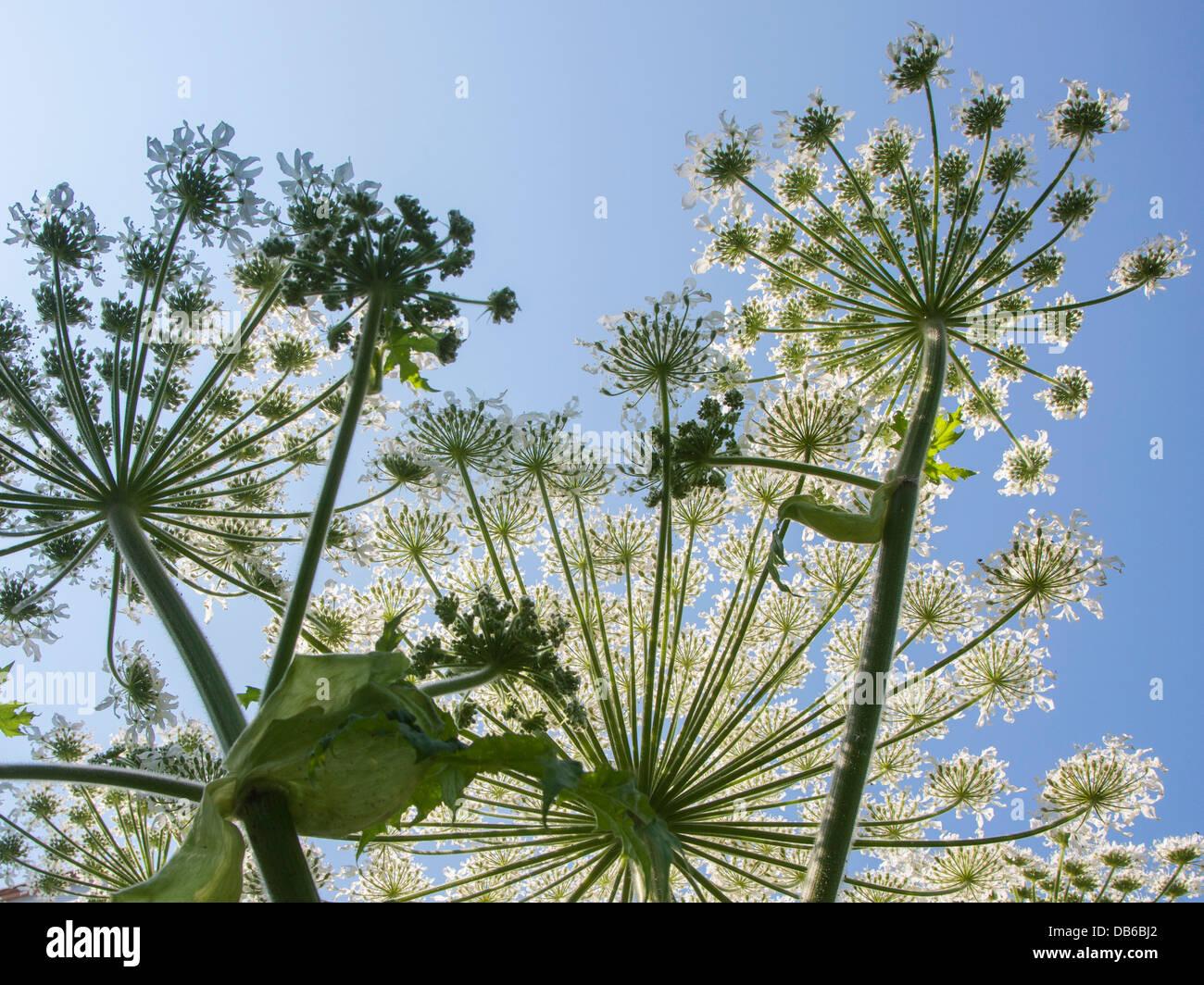 Worm's-eye view of Giant hogweed / cartwheel-flower (Heracleum mantegazzianum) close up against blue sky Stock Photo