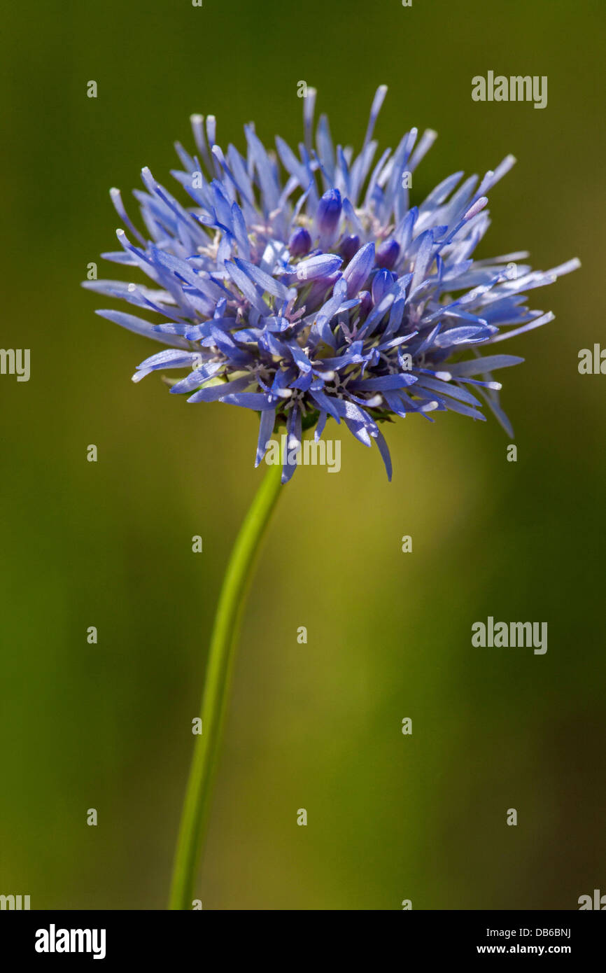 Close up of Sheep's Bit / Sheep Scabious (Jasione montana) in flower - Stock Image