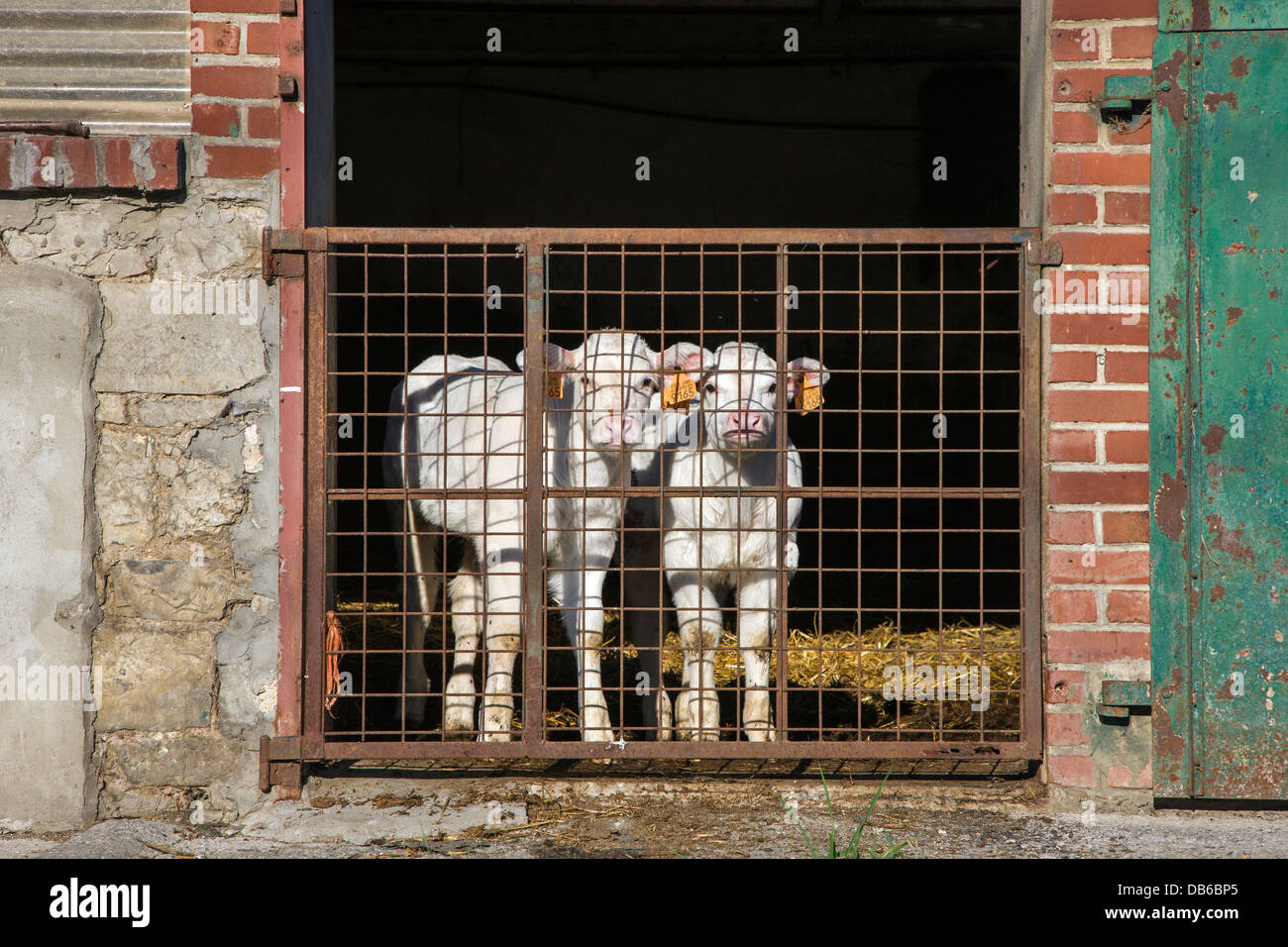 Two curious white calves tagged with earmarks in cow shed at dairy farm - Stock Image