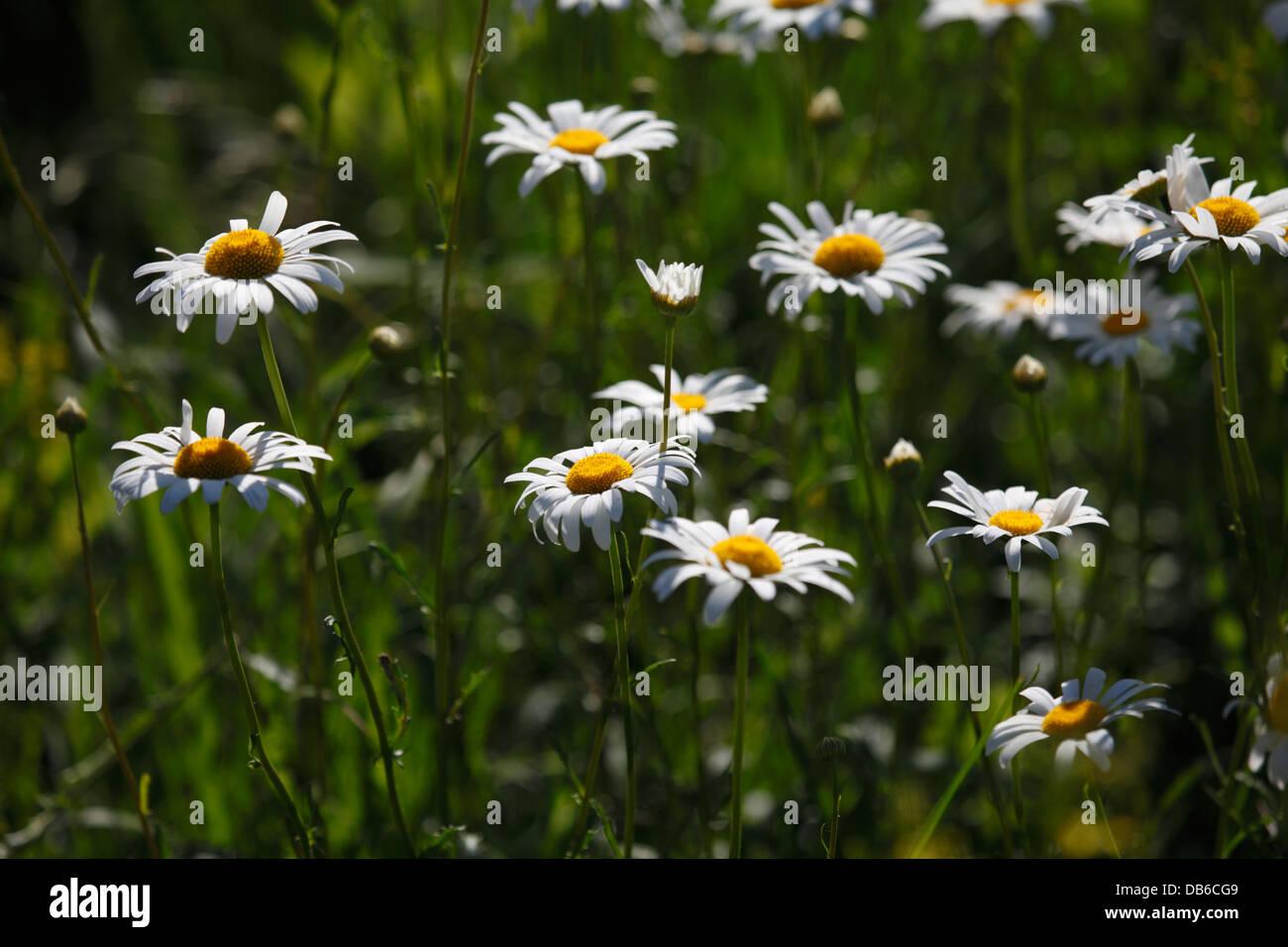 White daisy like flowers stock photos white daisy like flowers white daisy like flowers stock image izmirmasajfo