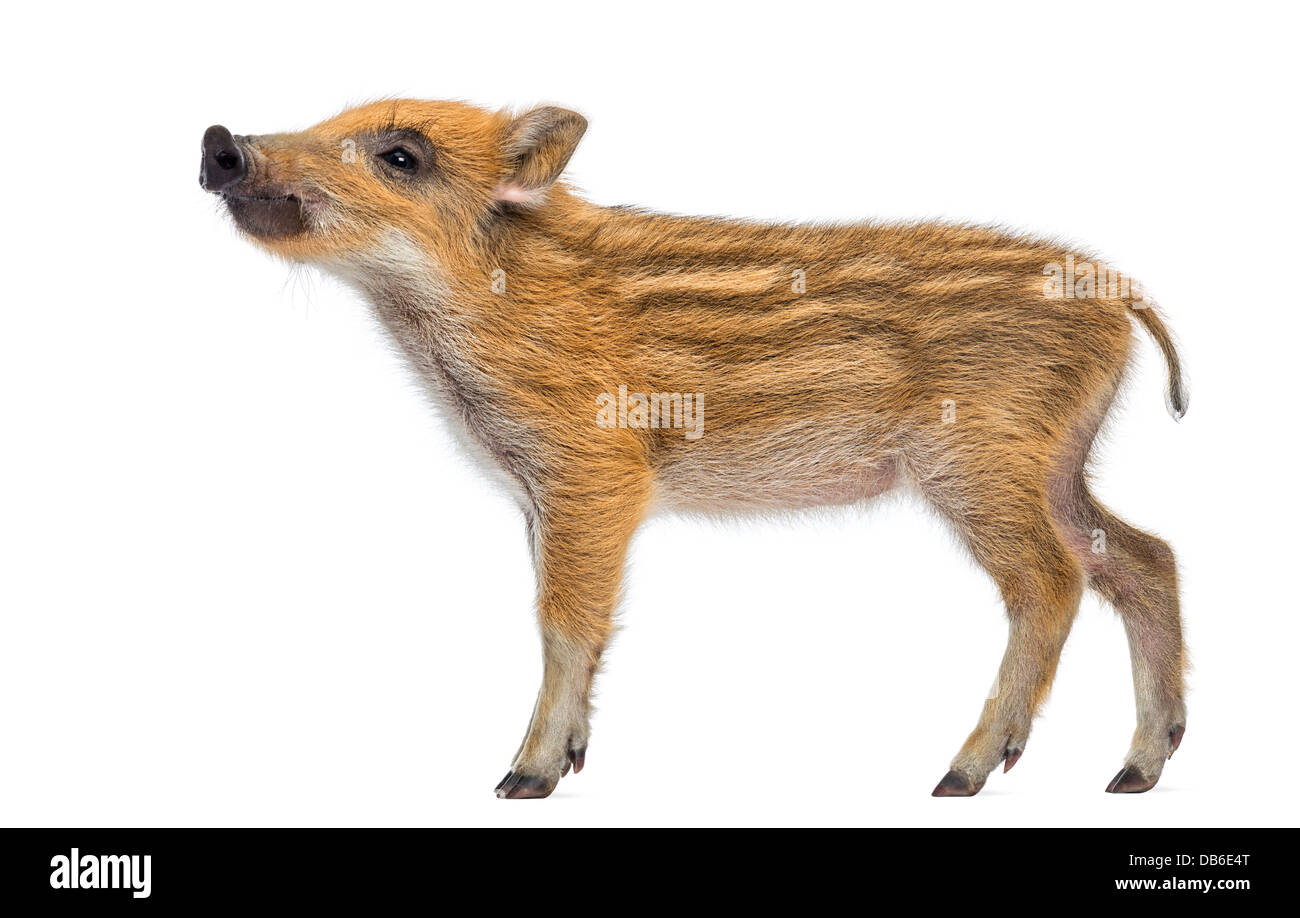 Wild boar, Sus scrofa, 2 months old, also known as wild pig looking up against white background - Stock Image