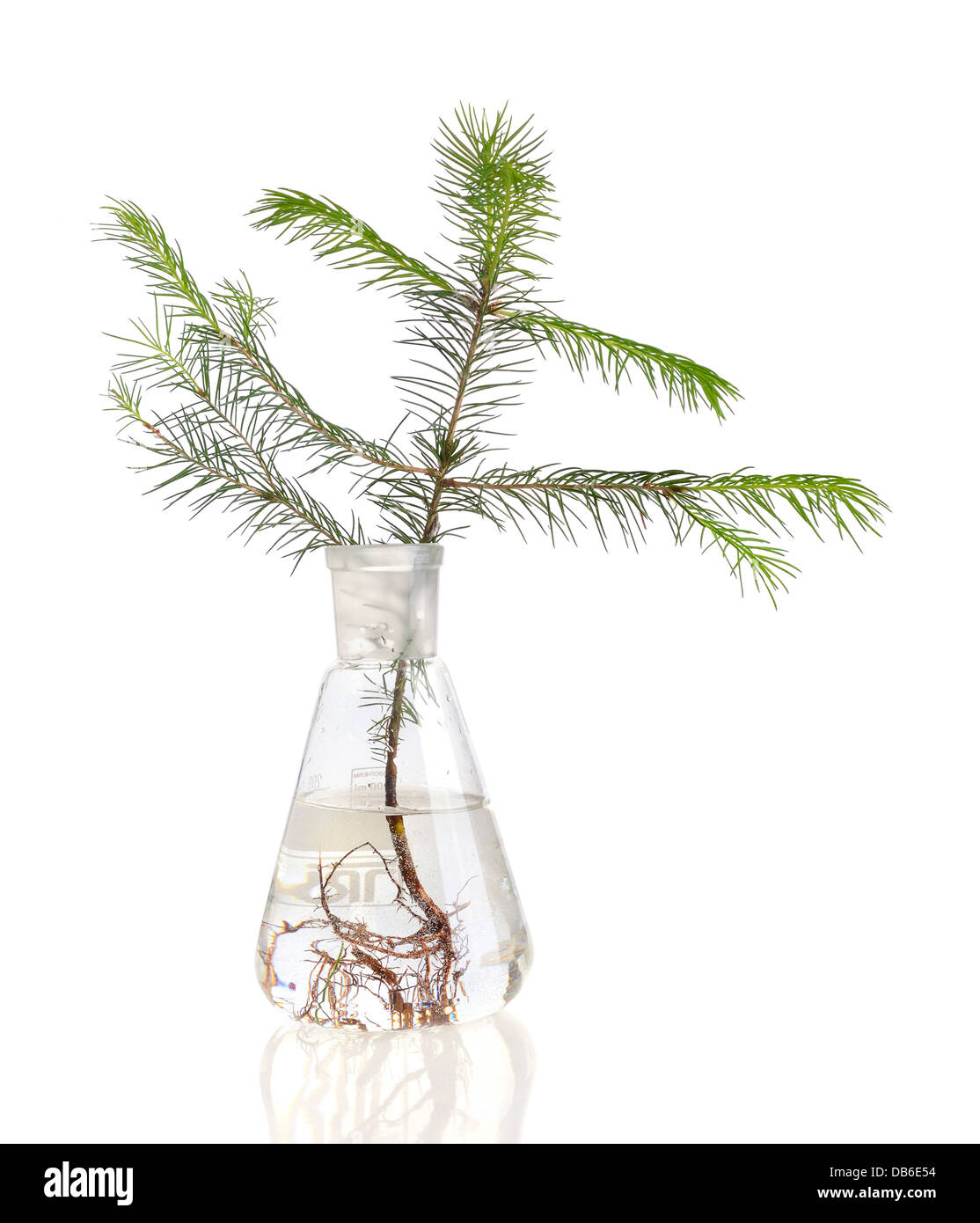 Two young fir trees growthing in in chemistry test tube on white background - Stock Image