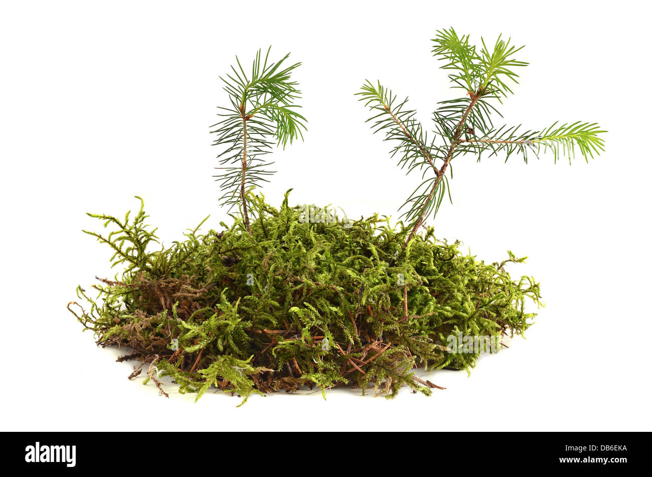 Two young fir trees growthing in moss on a white background Stock Photo