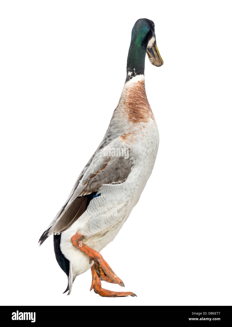 Male Indian Runner Duck, Anas platyrhynchos domesticus, walking against white background - Stock Image