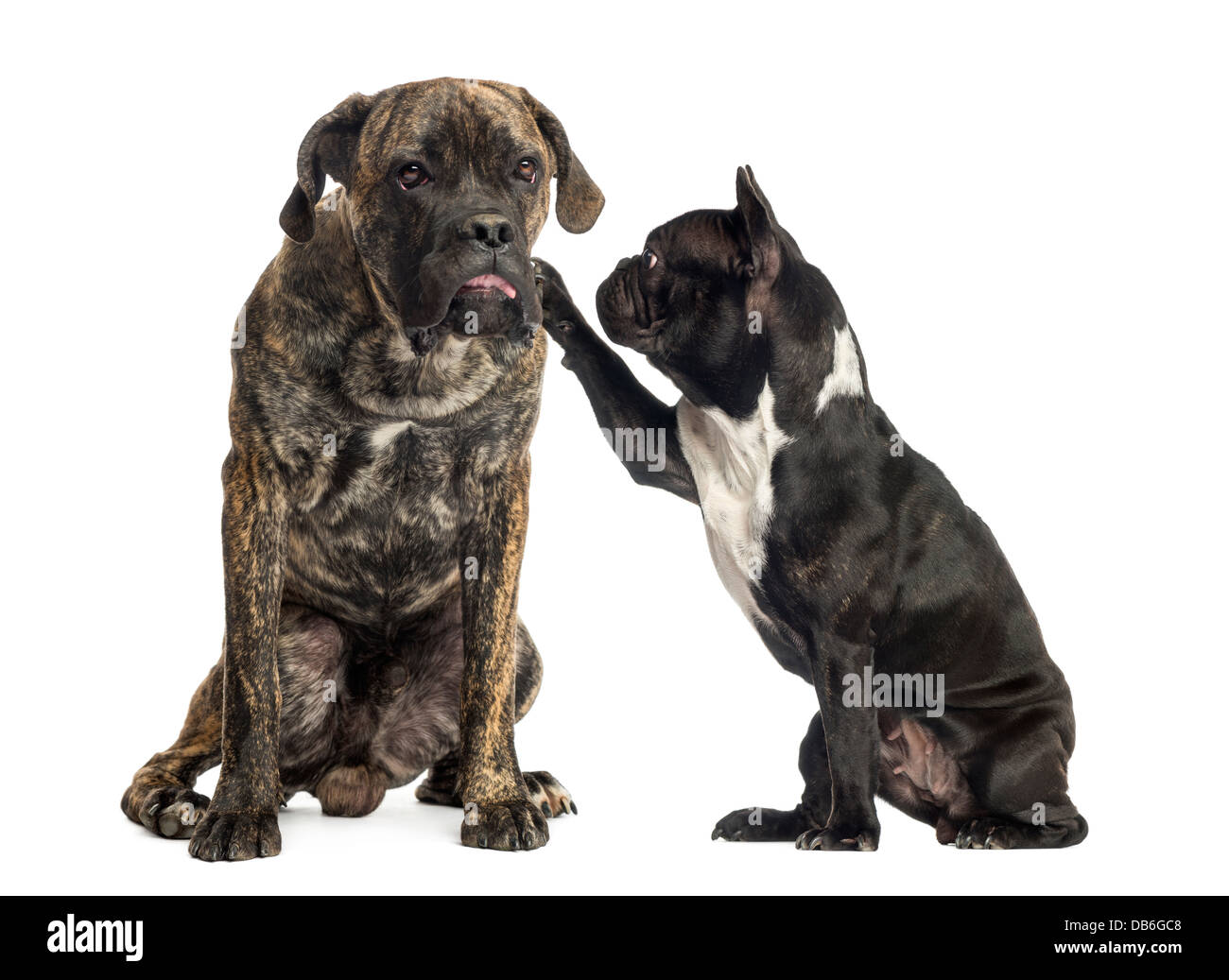 Cane Corso Dogs Stock Photos Cane Corso Dogs Stock Images Alamy