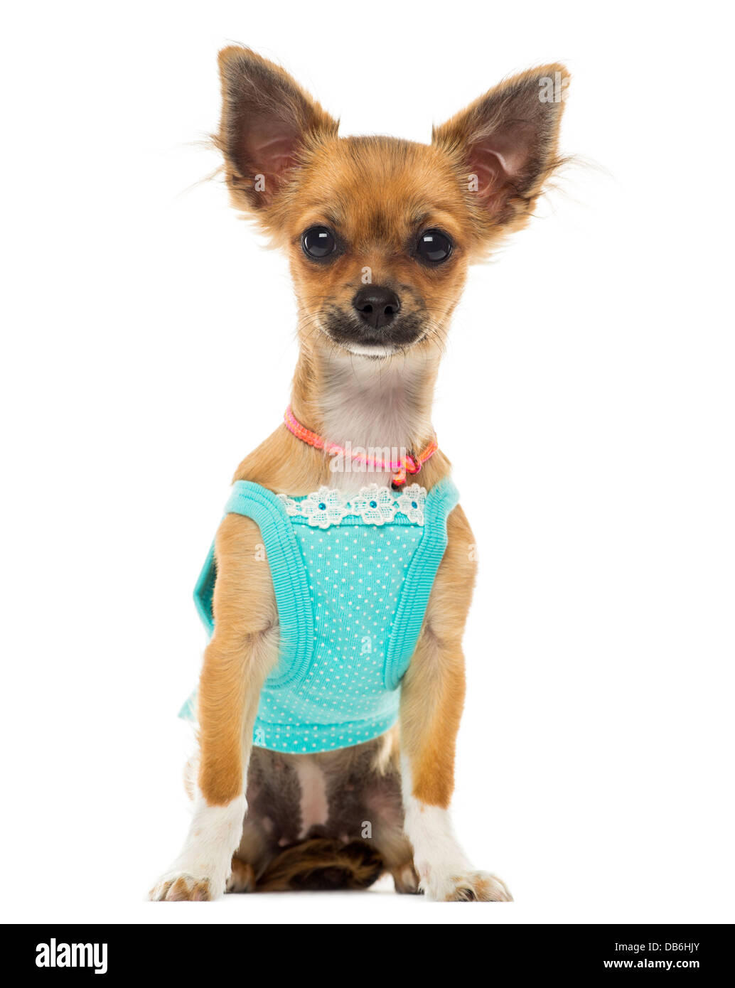Dressed up Chihuahua sitting against white background - Stock Image