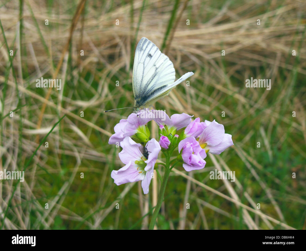 Small White Butterfly ( Artogeia rapae ) Feeding On Nectar A Lady's Smock/ Cuckoo Flower ( Caradmine pratensis - Stock Image