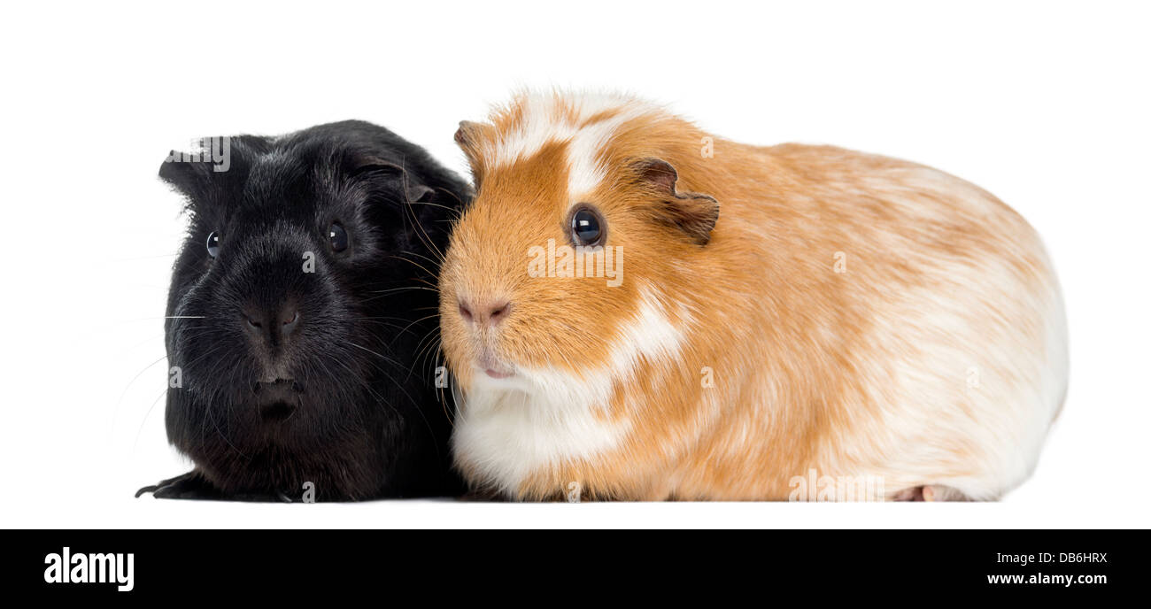 Two Guinea pigs next to each other against white background - Stock Image