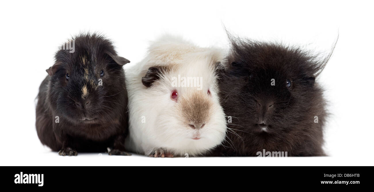 Three Guinea Pigs next to each other against white background - Stock Image