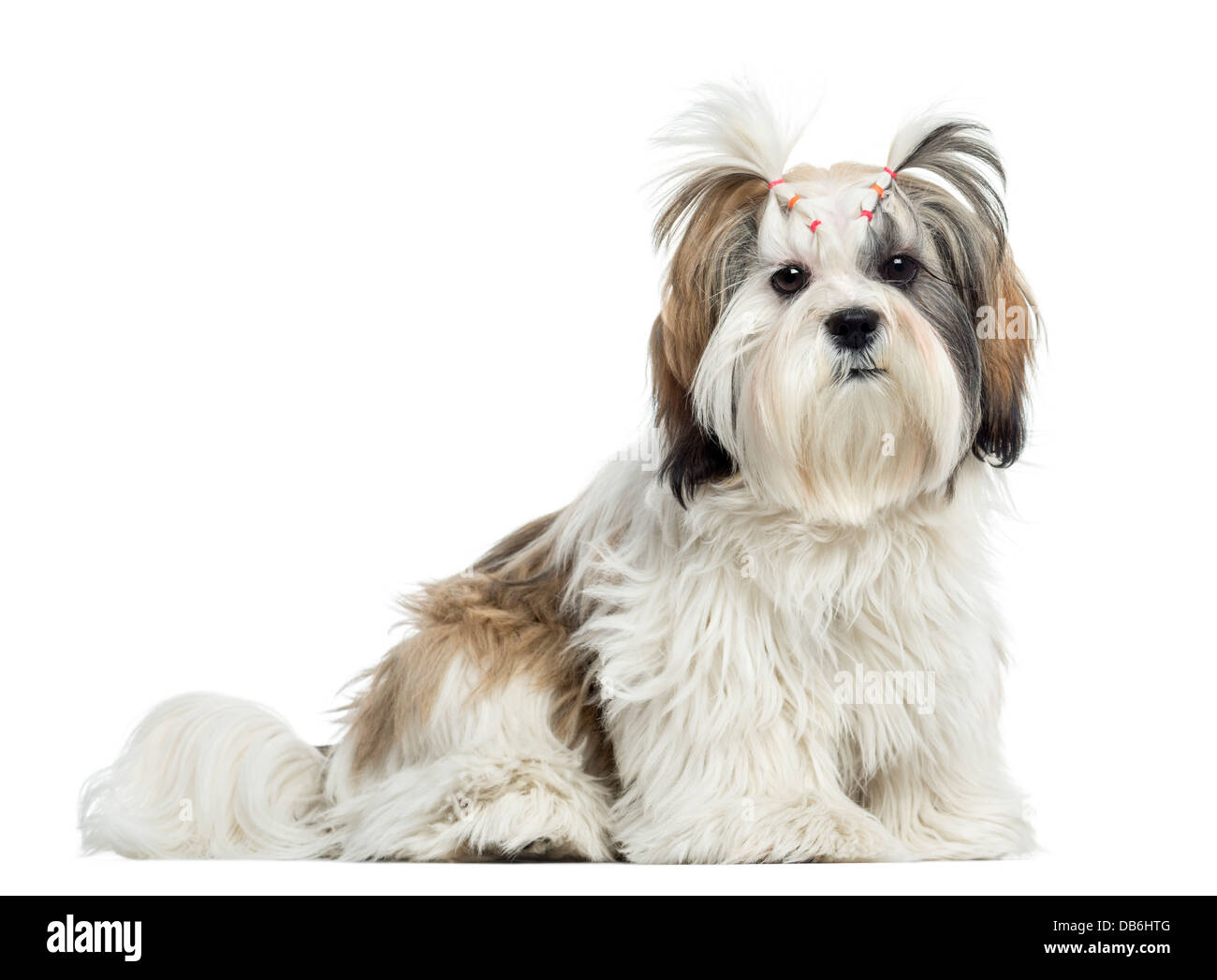 Lhassa apso sitting and looking at camera against white background - Stock Image
