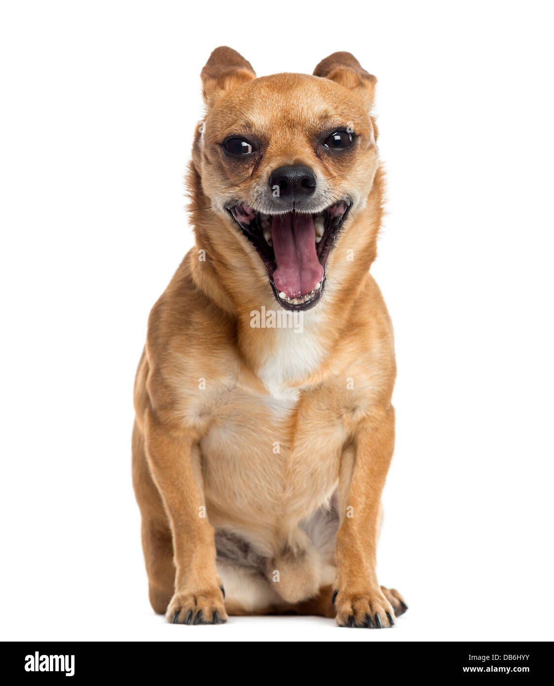 Chihuahua sitting and yawning against white background - Stock Image