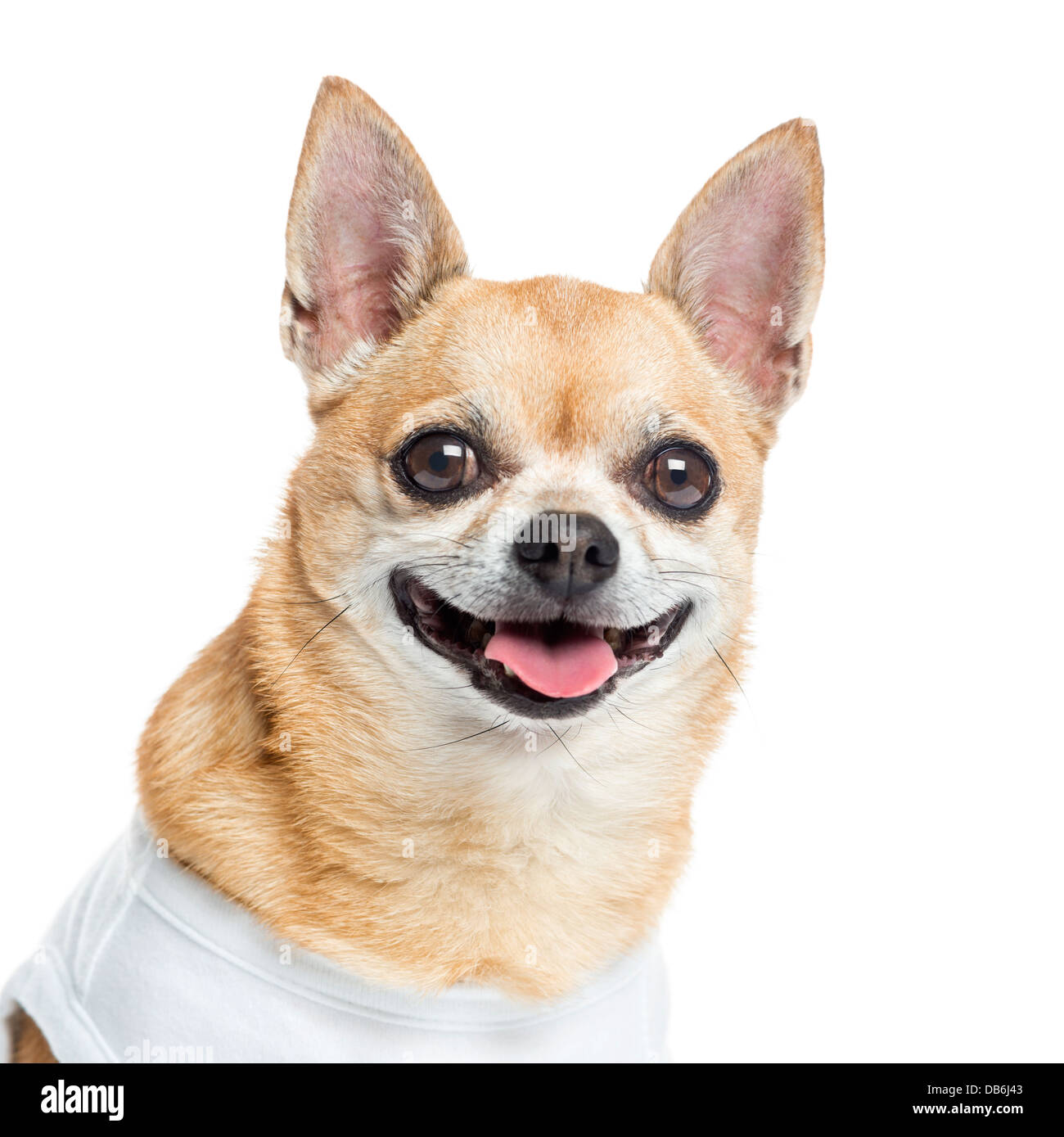 Close-up of dressed and smiling Chihuahua against white background - Stock Image