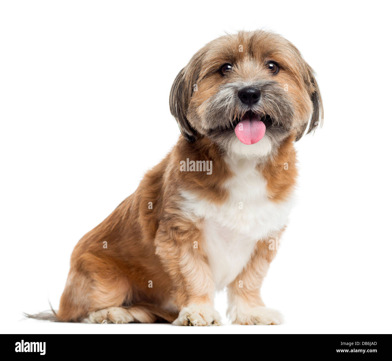 Lhassa apso sitting and panting against white background - Stock Image
