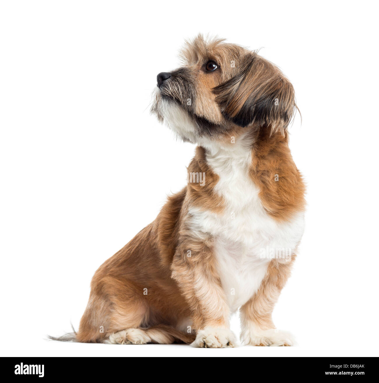 Lhassa apso sitting and looking away against white background - Stock Image