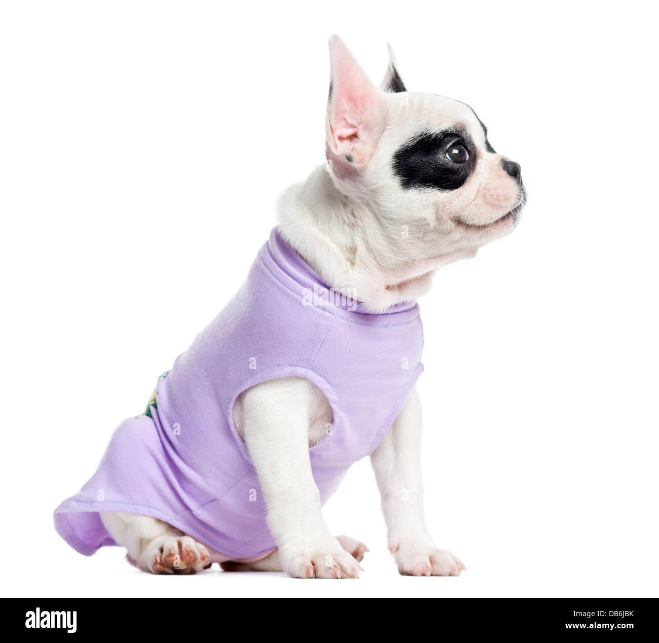 Dressed French Bulldog sitting against white background - Stock Image