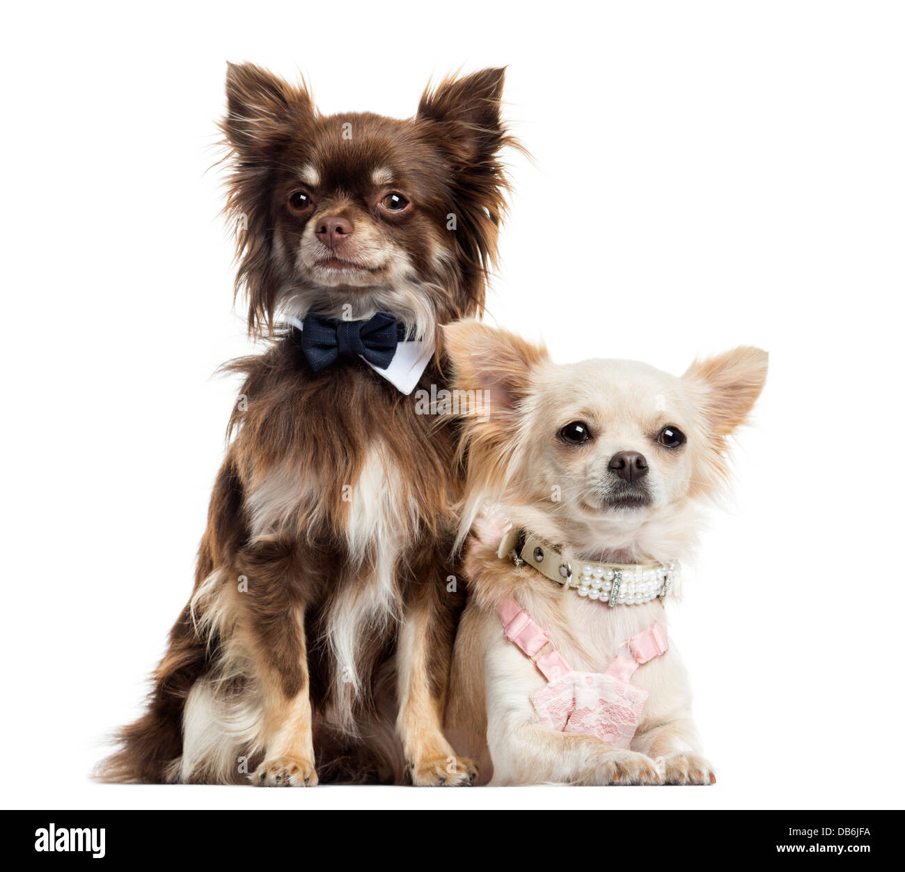 Two dressed Chihuahuas against white background Stock Photo