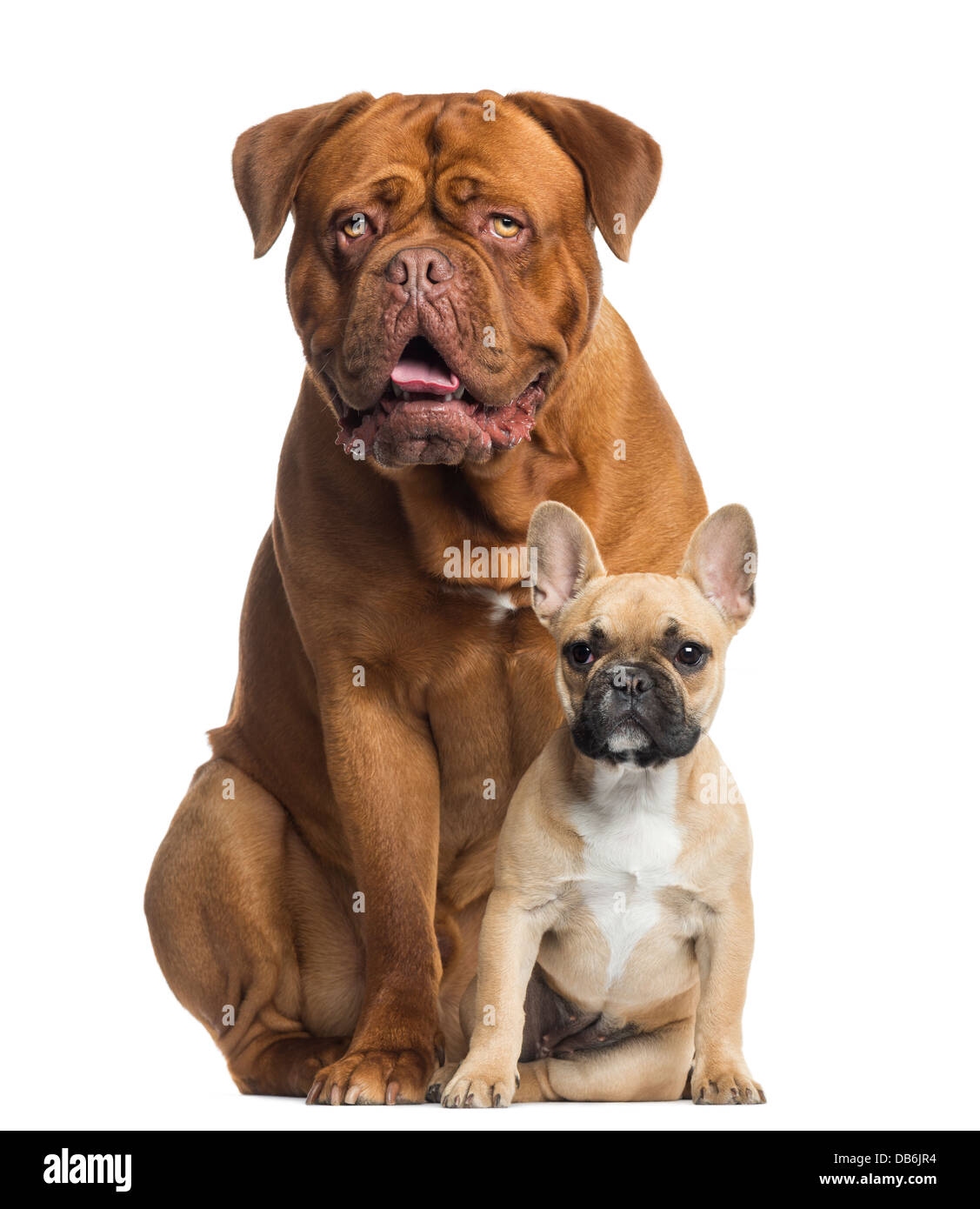 Dogue De Bordeaux Panting And French Bulldog Puppy Sitting Against