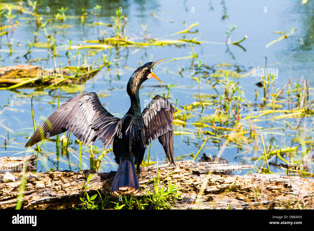 A black water bird, Anhinga, was drying its wings -their wings are not water proofed - at Brazo Bend State Park - Stock Image