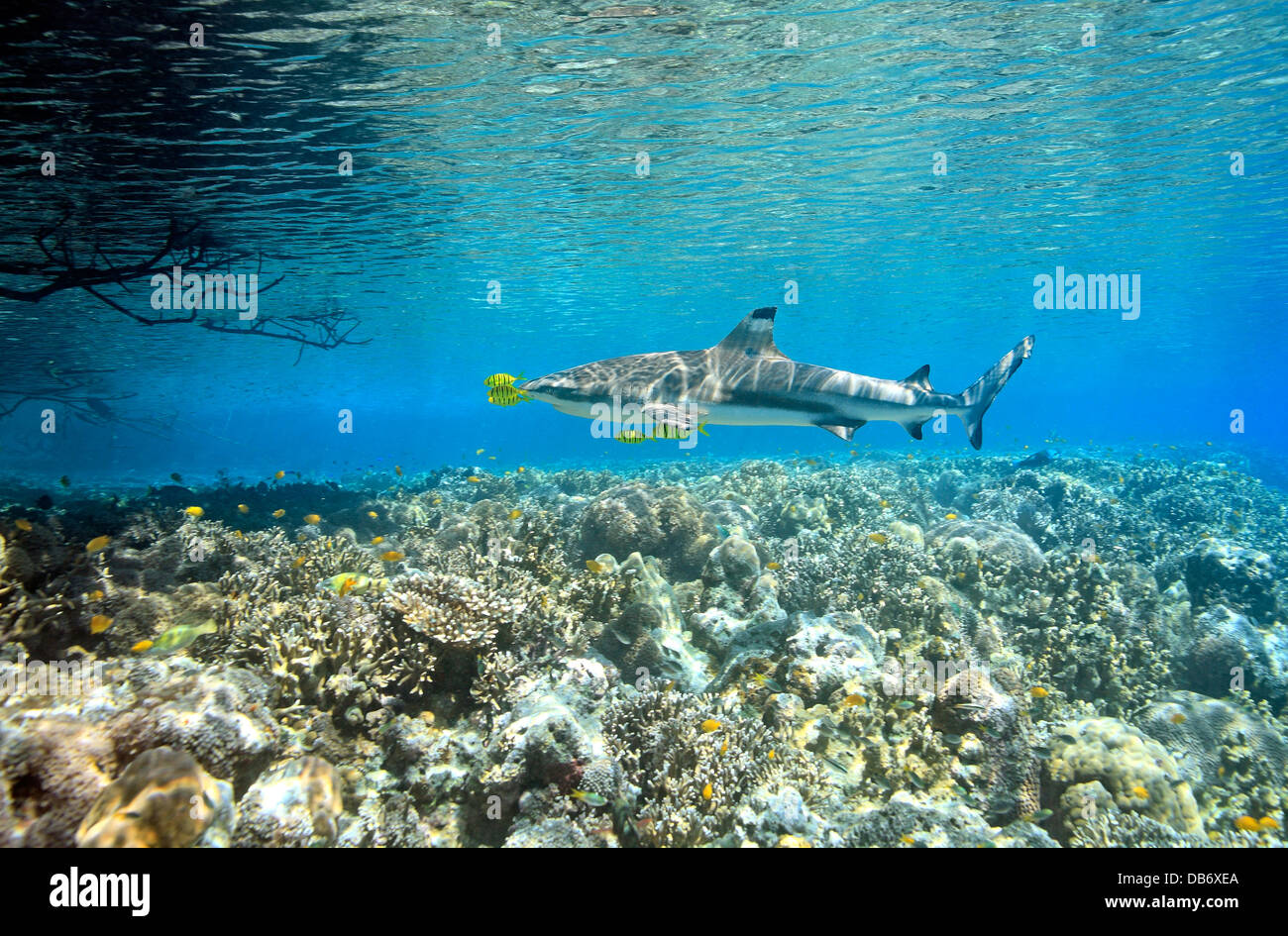 Blacktip Reef Shark, Carcharhinus melanopterus, swimming over shallow coral reef with five pilotfish Stock Photo