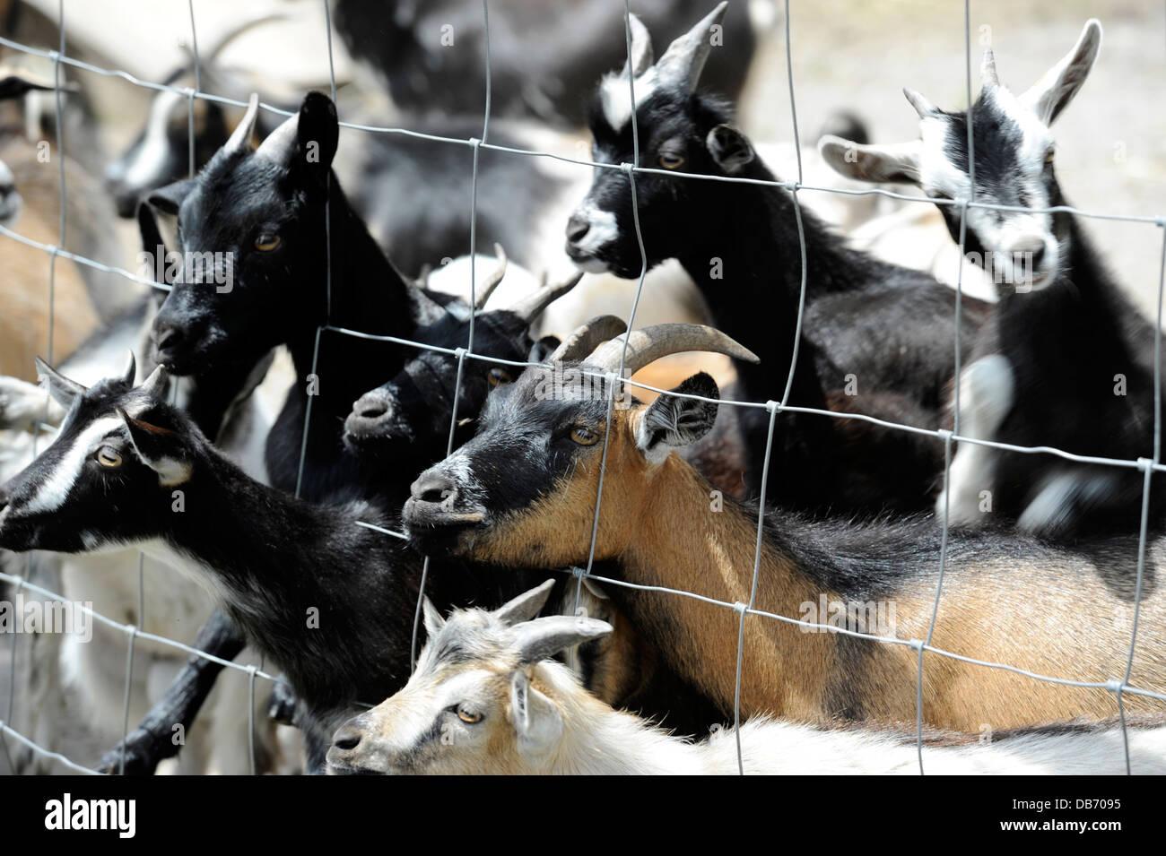 Baby goats waiting to be fed at the Aloha Zoo in Cameron, North Carolina. - Stock Image