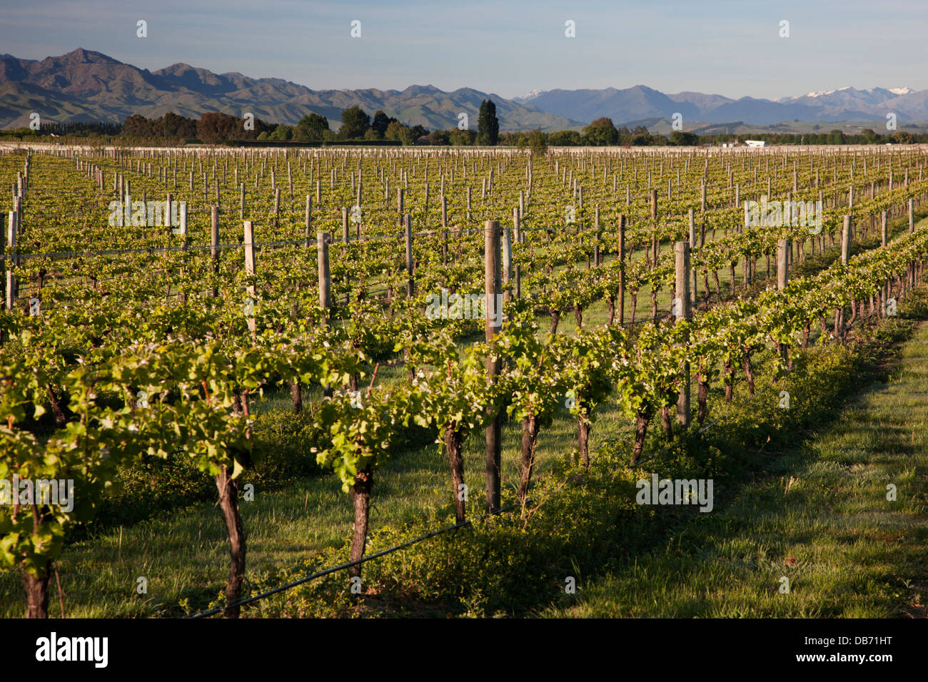 South Pacific, New Zealand, South Island. One of many vineyards in the Marlborough region. - Stock Image