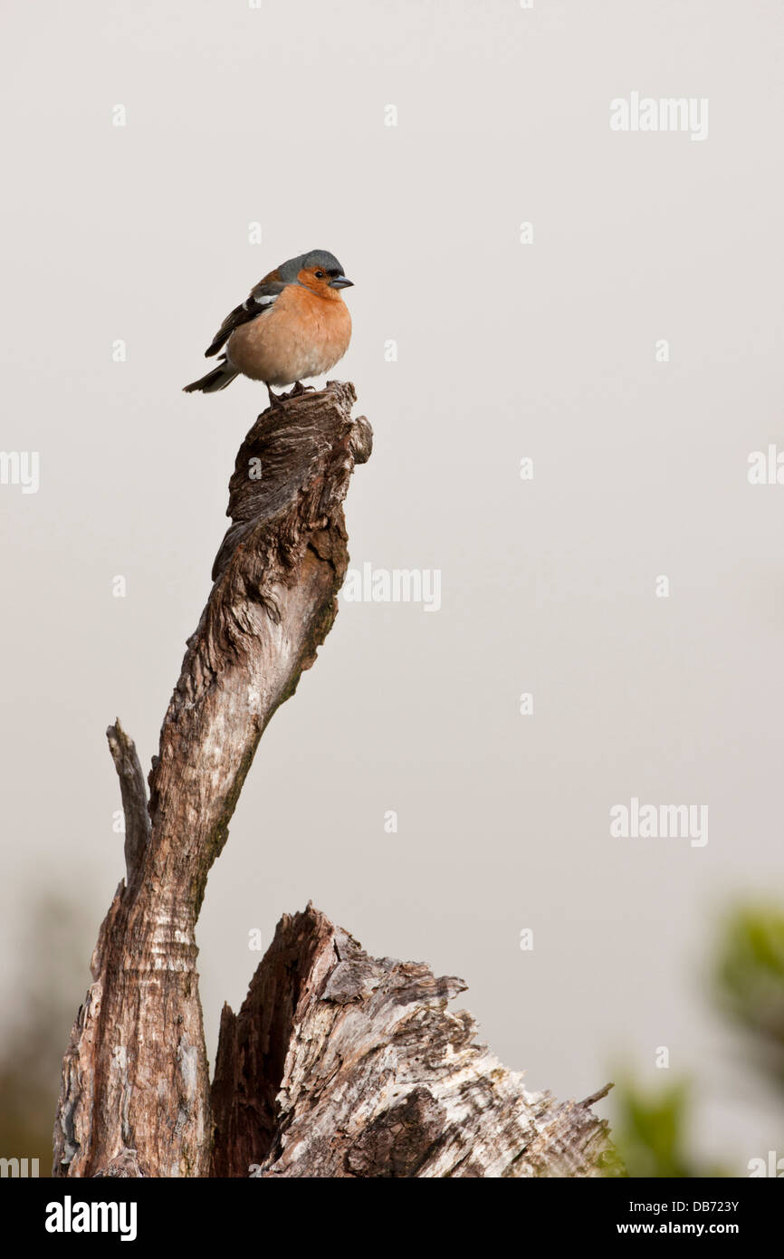 South Pacific, New Zealand, South Island, Fiordland National Park. A fat common chaffinch perched on a dead tree. - Stock Image