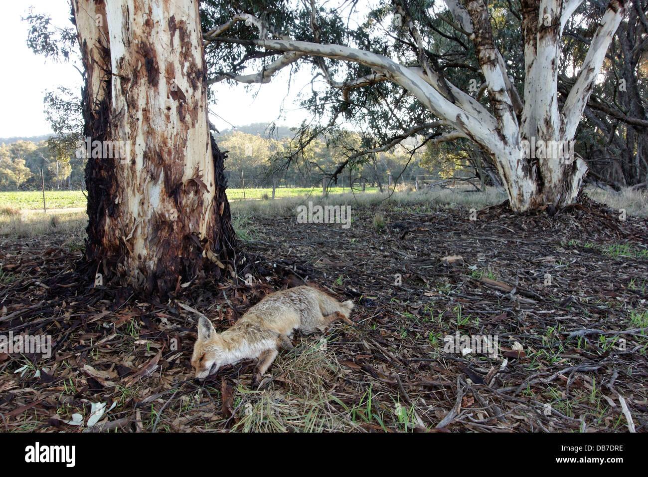 Dead Fox ( Vulpes vulpes ) laying beside a Eucalyptus Tree near farmland, Western Australia - Stock Image