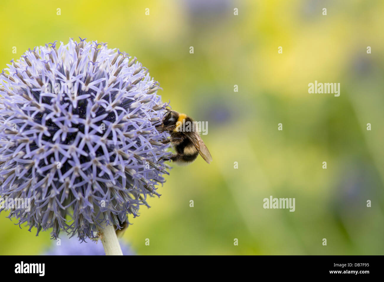 Bumblebee on a Echinops bannaticus Taplow Blue flower - Stock Image