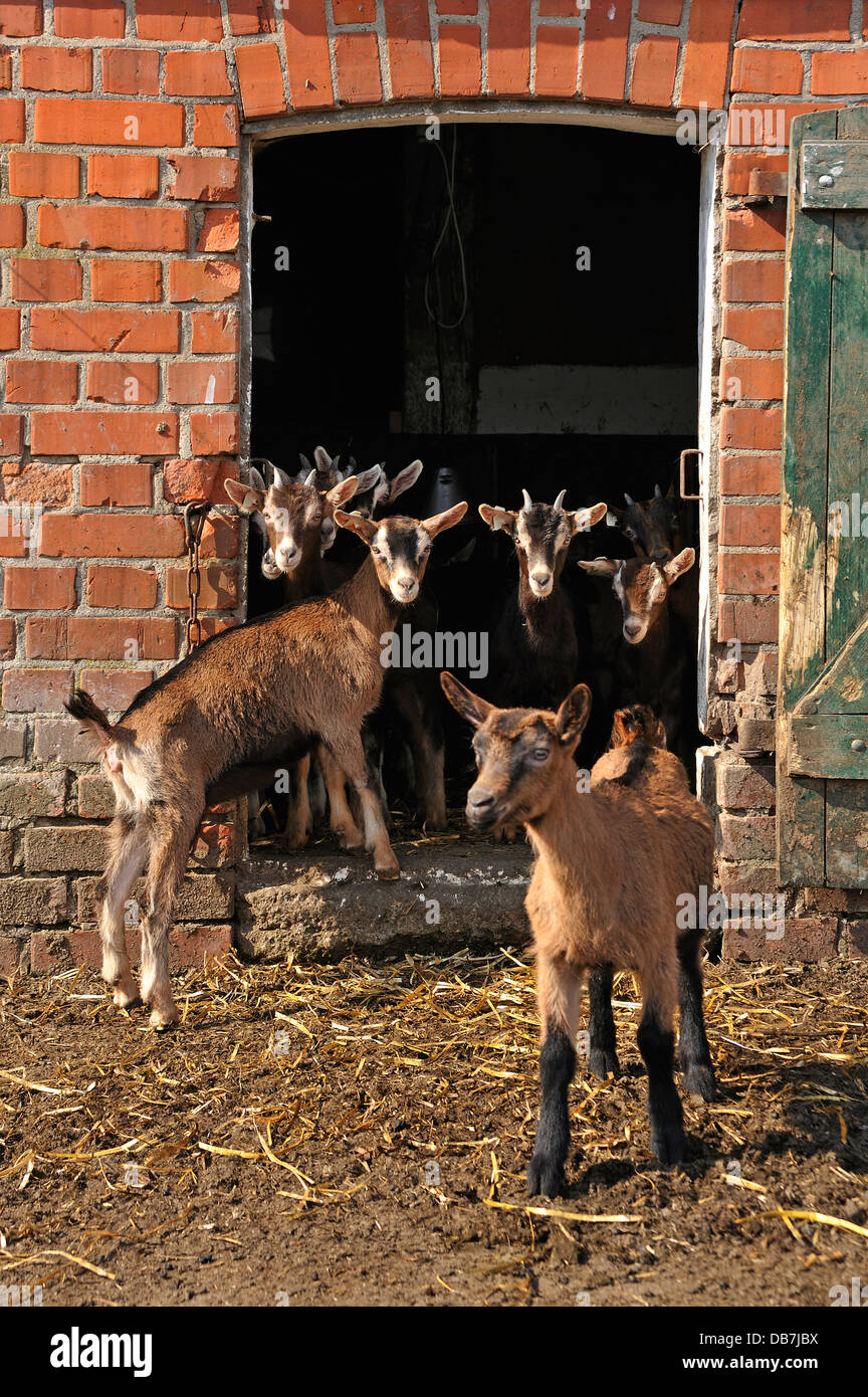 Goatlings Or Kids Standing At The Barn Door On An Organic Farm Stock