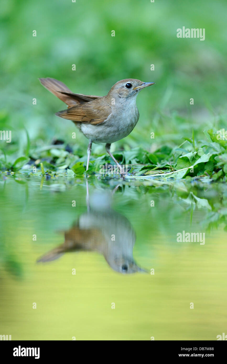 Nightingale (Luscinia megarhynchos) with its reflection in the water - Stock Image