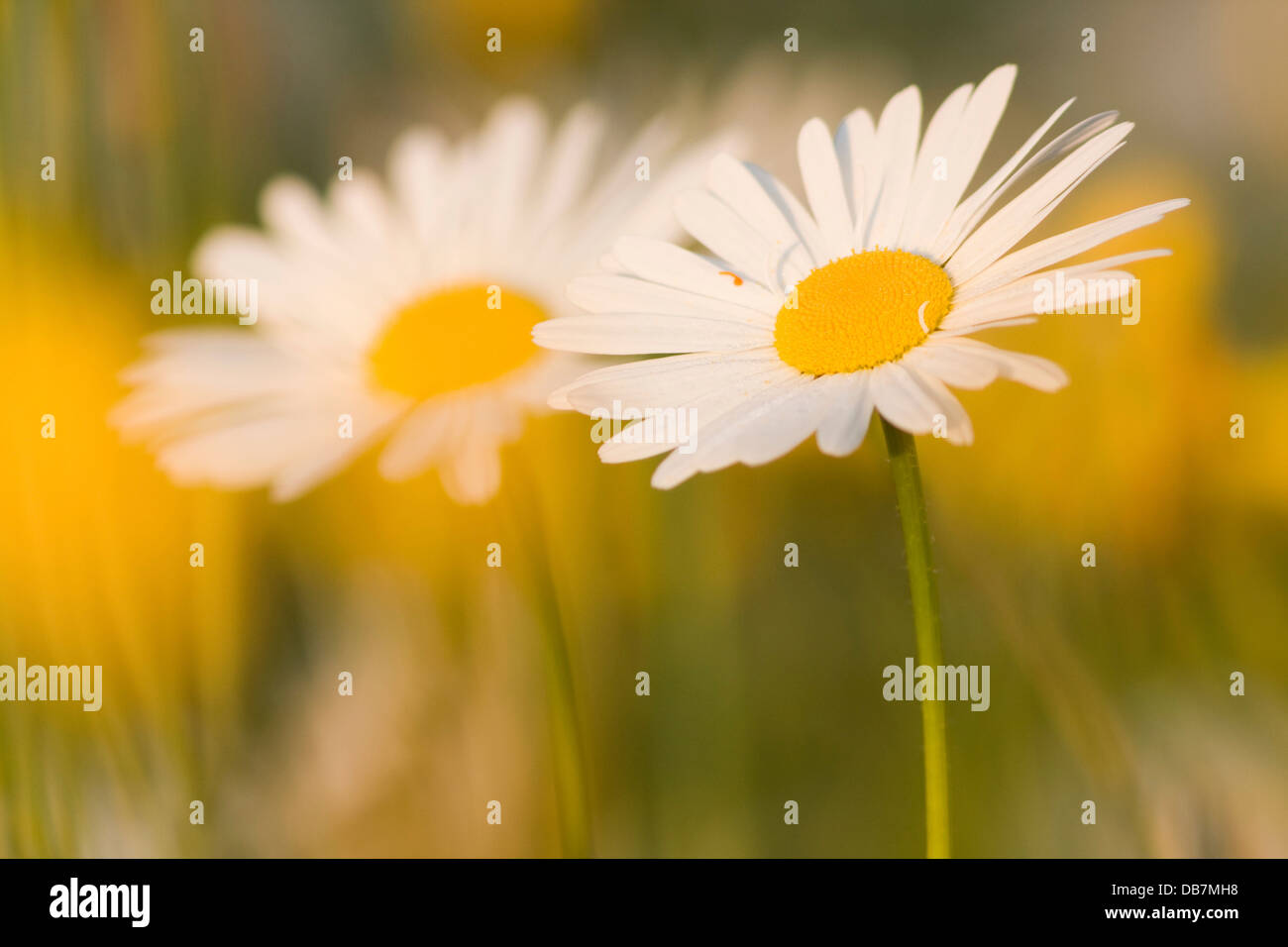 Parts flowers daisies stock photos parts flowers daisies stock daisies leucanthemum stock image izmirmasajfo