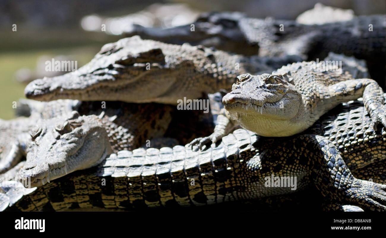 Young Estuarine Crocodiles (Saltwater Crocodiles), Crocodylus porosus, Sarawak, Malaysia - Stock Image
