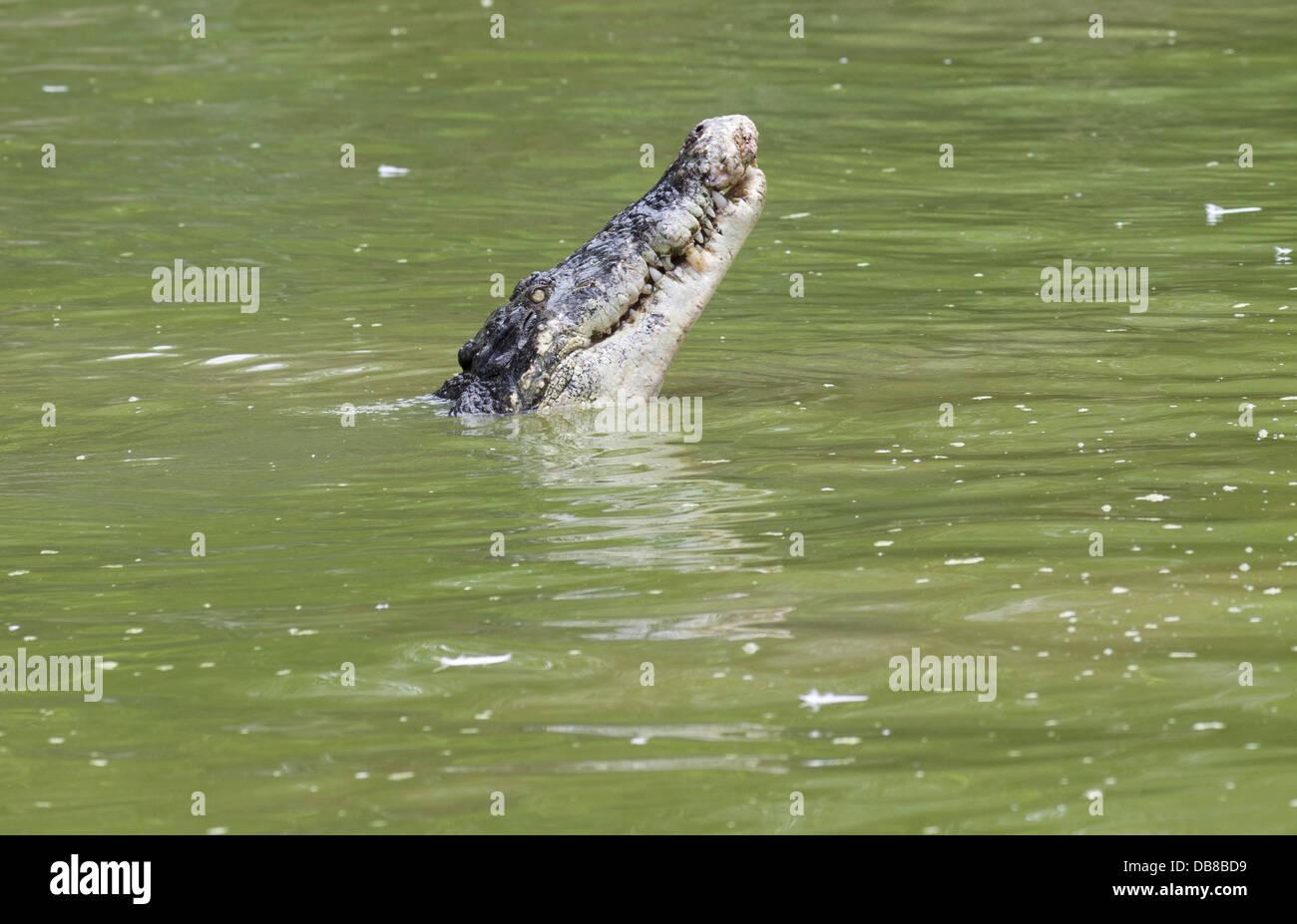 Estuarine Crocodile (Saltwater Crocodile), Crocodylus porosus, Sarawak, Malaysia - Stock Image