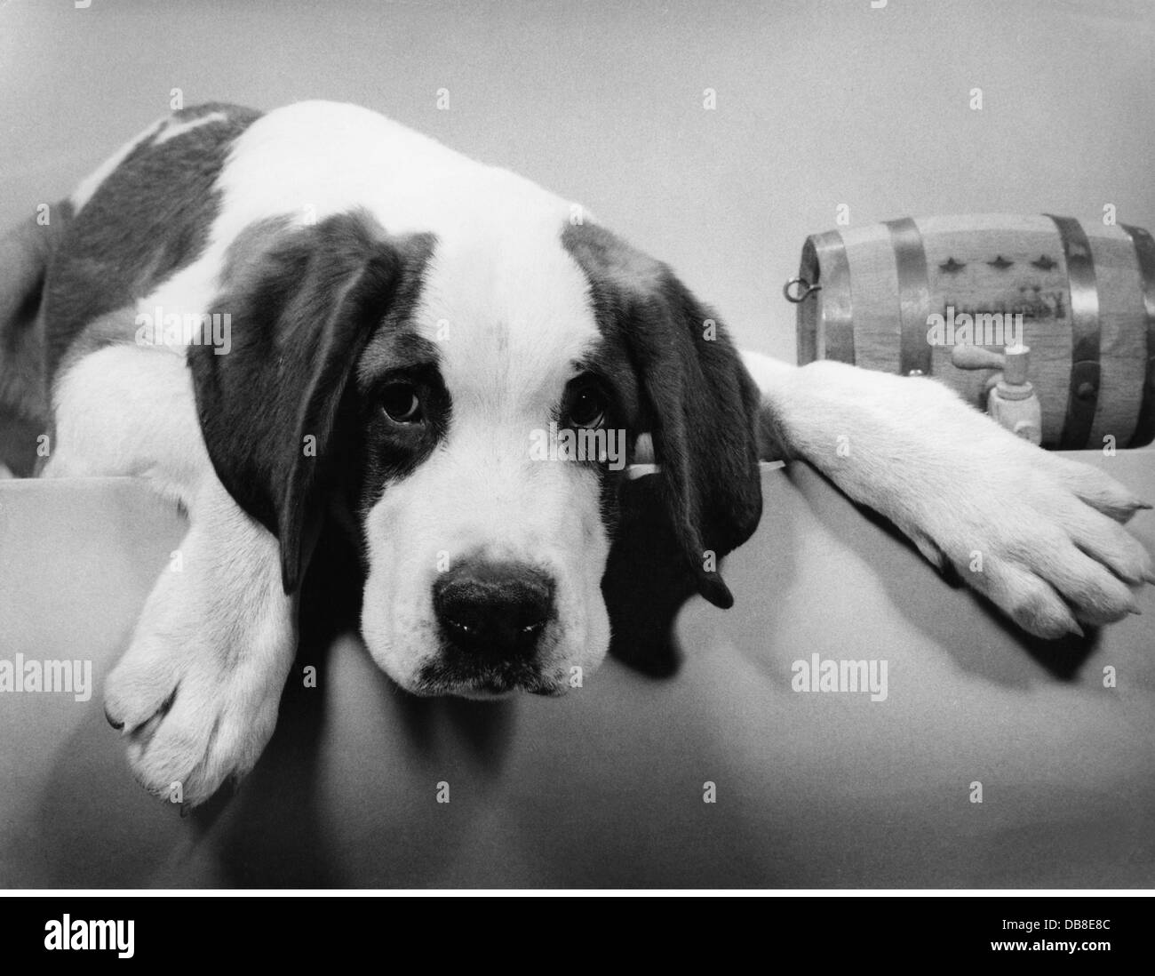 zoology / animals, mammal / mammalian, dog (Canis lupus familiaris), 1950s, Additional-Rights-Clearences-NA - Stock Image