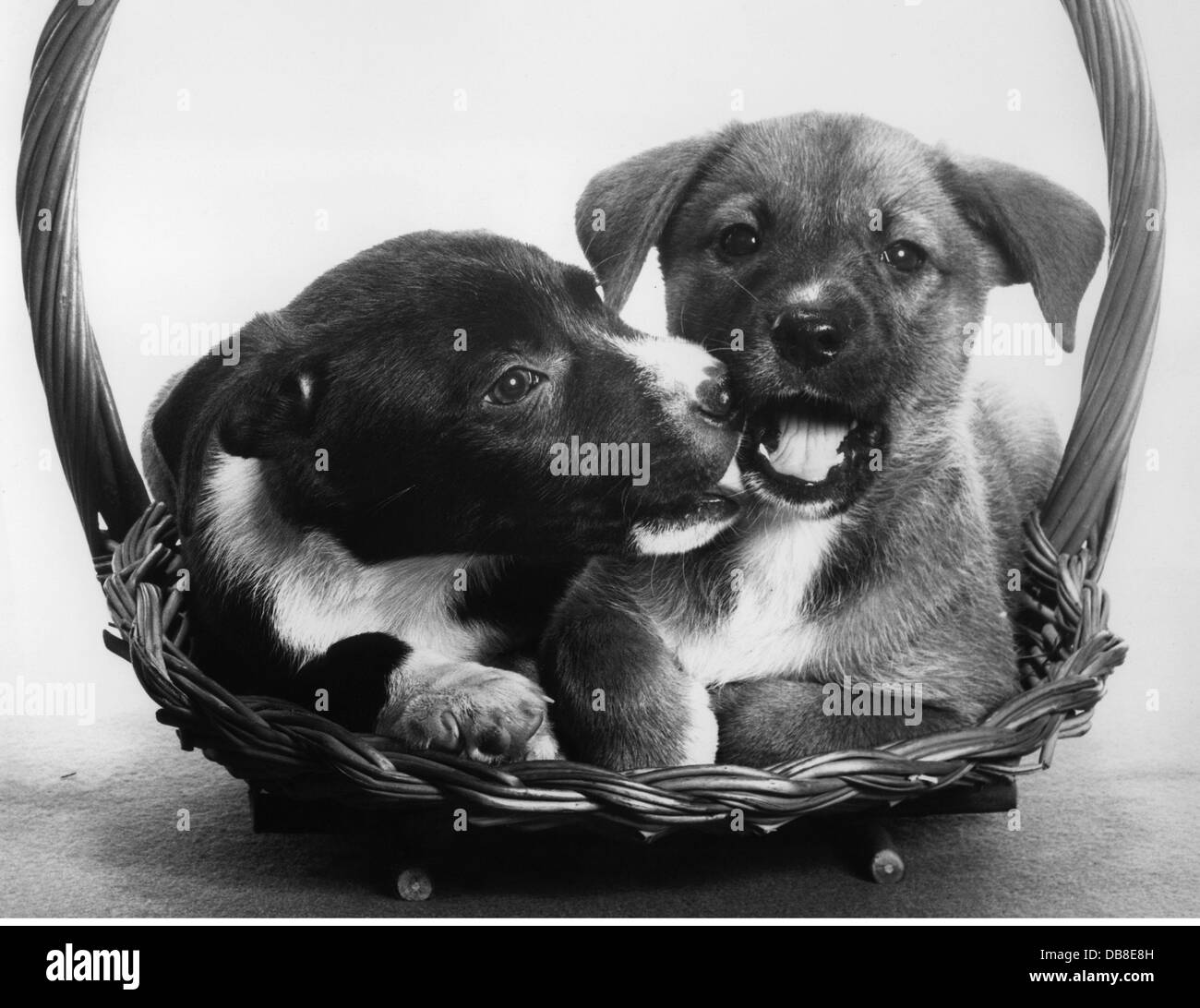 zoology / animals, mammal / mammalian, dog (Canis lupus familiaris), two puppies, 1950s, Additional-Rights-Clearences - Stock Image