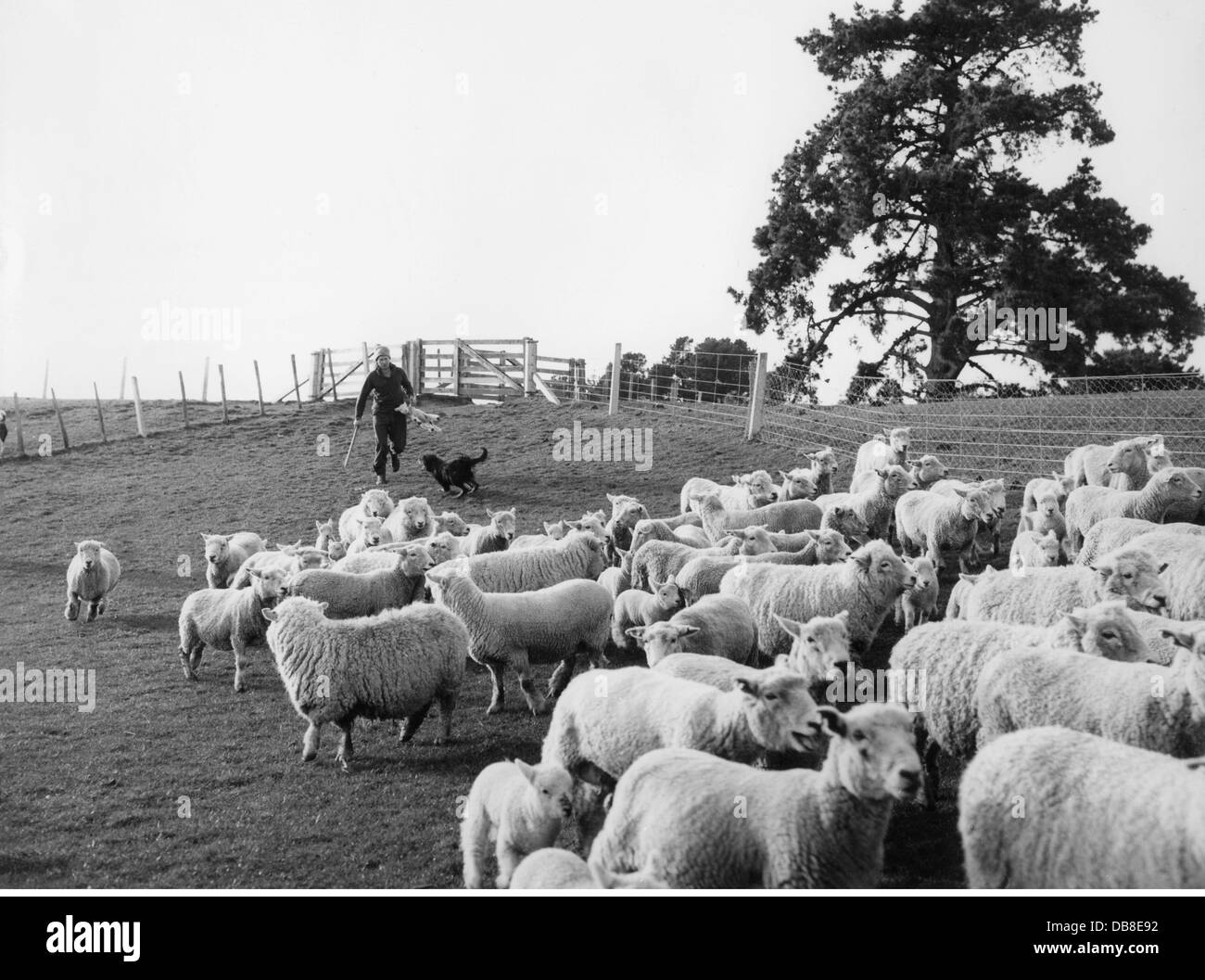 geography / travel, New Zealand, agriculture, flock of sheep, Napier, Hawke's Bay, 20th century, 20th century, - Stock Image