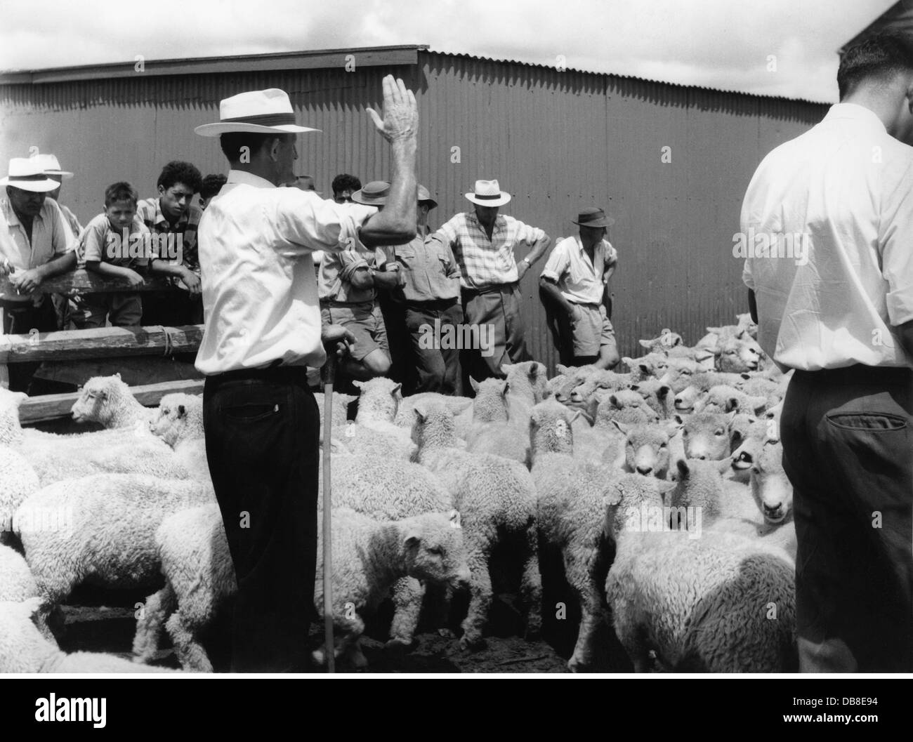 geography / travel, New Zealand, agriculture, auction of sheep, Whangarei, Northland, 20th century, 20th century, - Stock Image