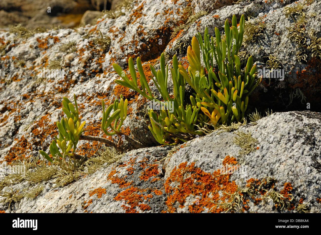 Sea Fennel (Crithmum maritimum) and Marine lichens - Stock Image
