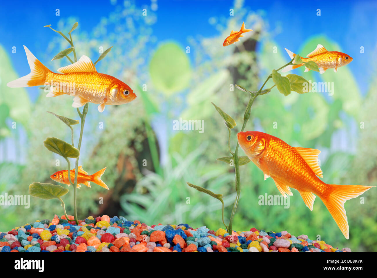 fish tank with goldfish - Stock Image