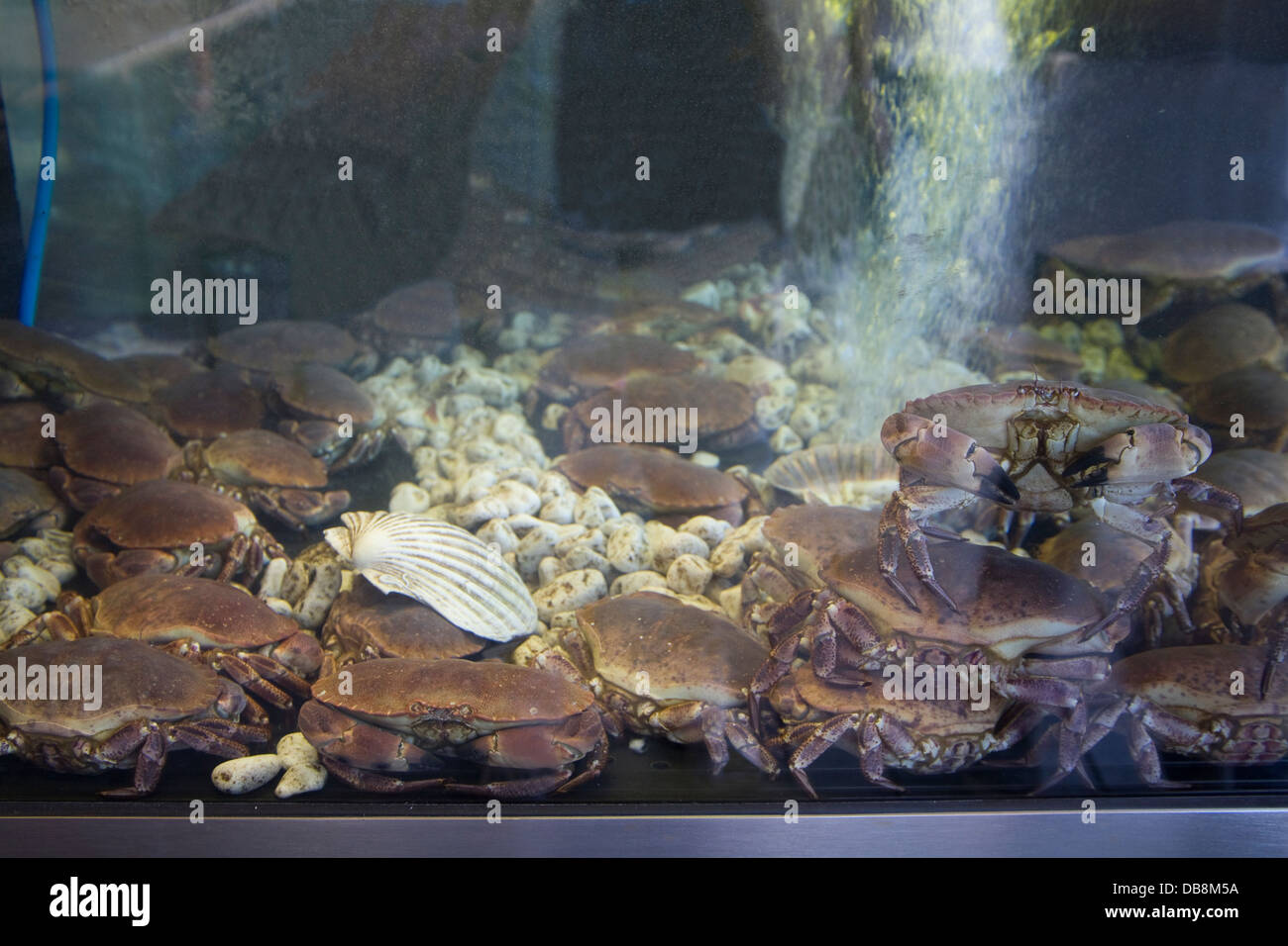 Bergen Norway Europe Aerated tank full of live crabs for sale on stall in world famous Fish Market Torget i Bergen - Stock Image