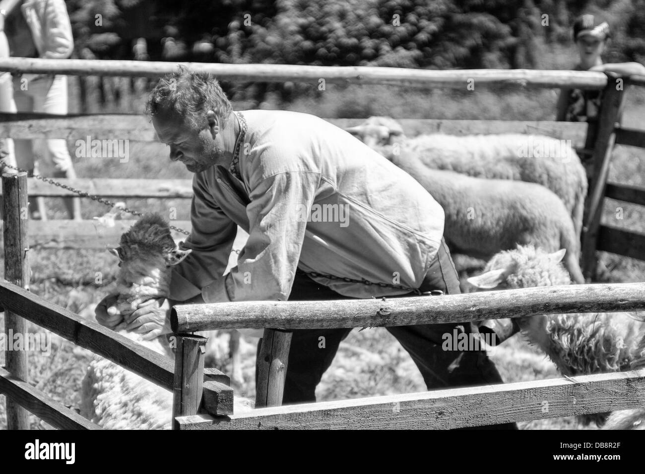 Sheep shearing in open-air museum - Stock Image