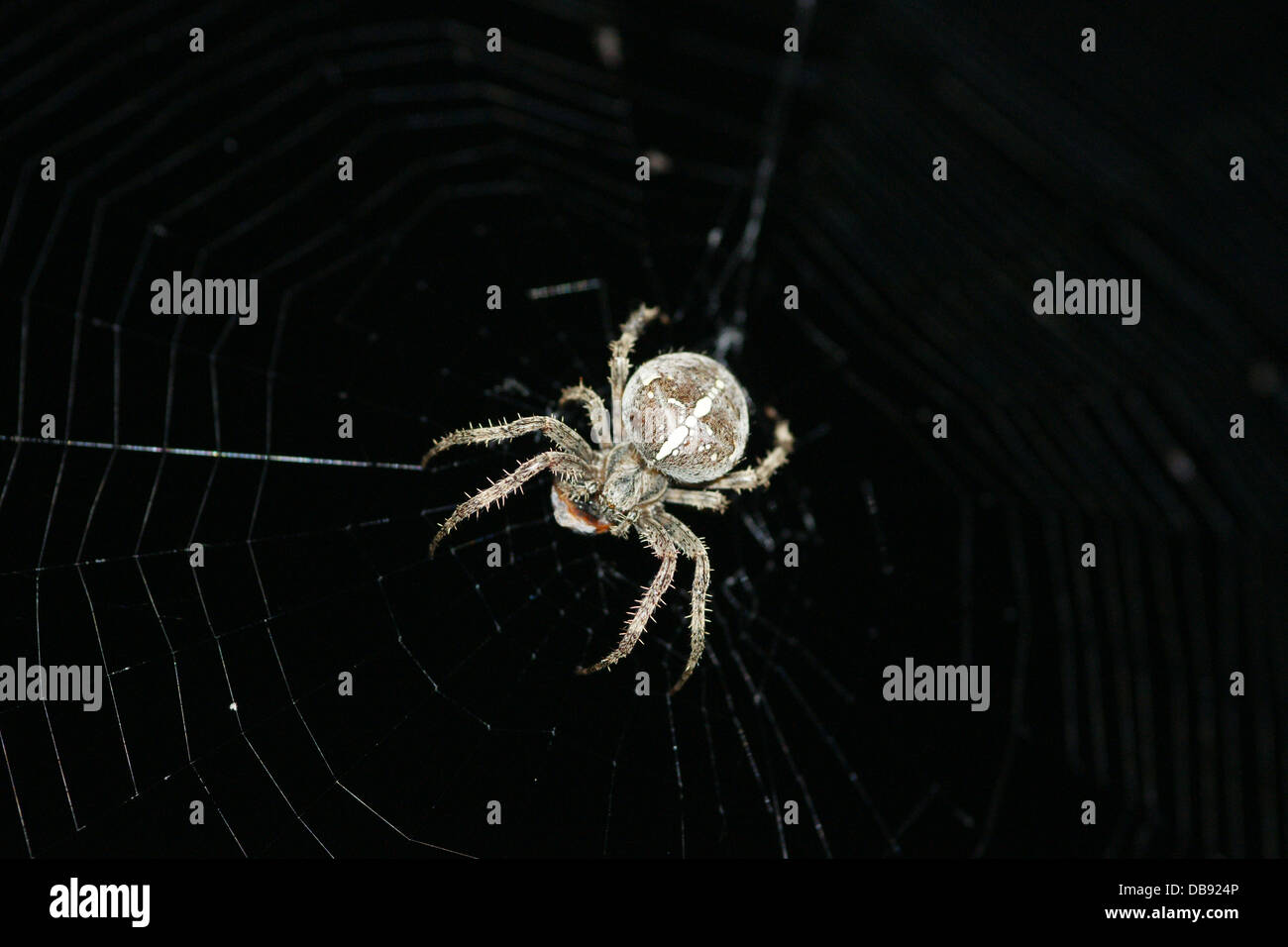 Macro image of Spider with white cross on its back - Stock Image