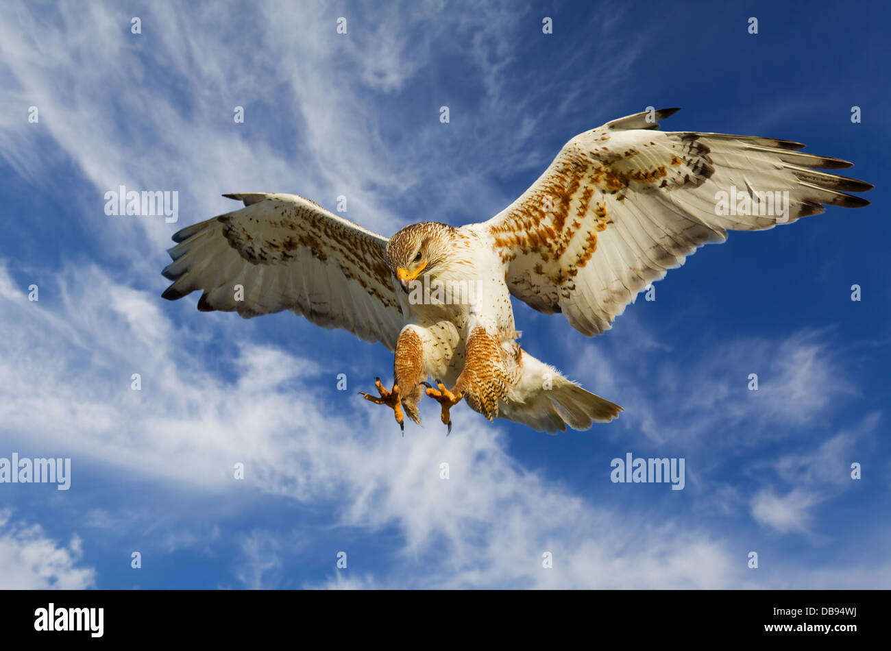 Large Ferruginous Hawk in attack mode with blue sky - Stock Image