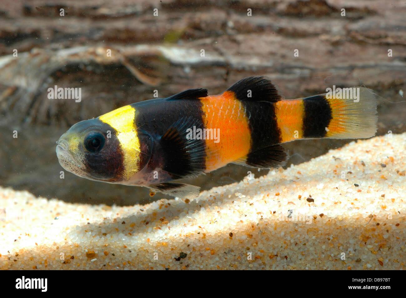 Brachygobius Doriae Bumble Bee Goby Borneo Sarawak Aquarium Fish