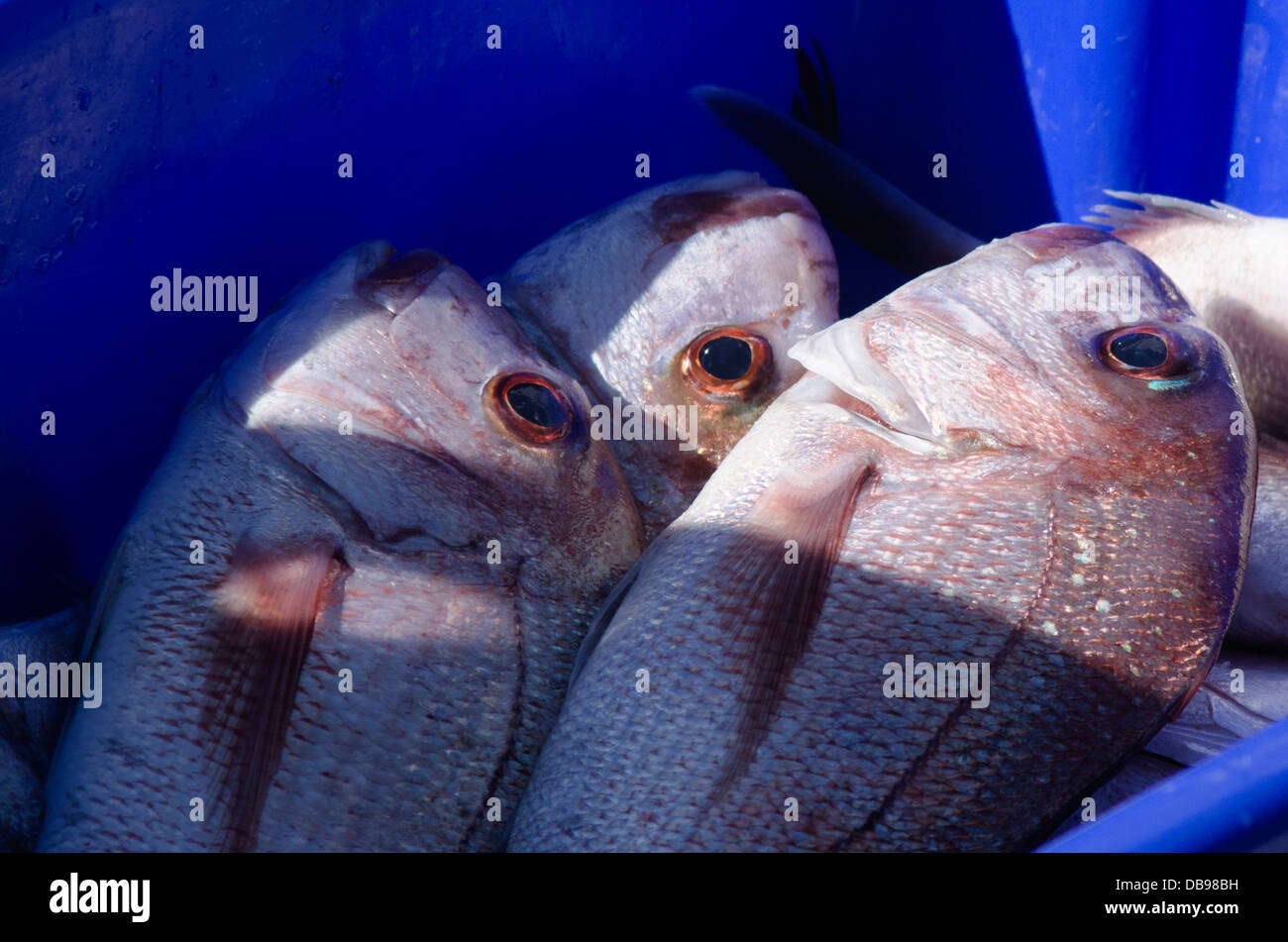 Fresh Snapper fish in a blue box with ice on fishing boat. Stock Photo