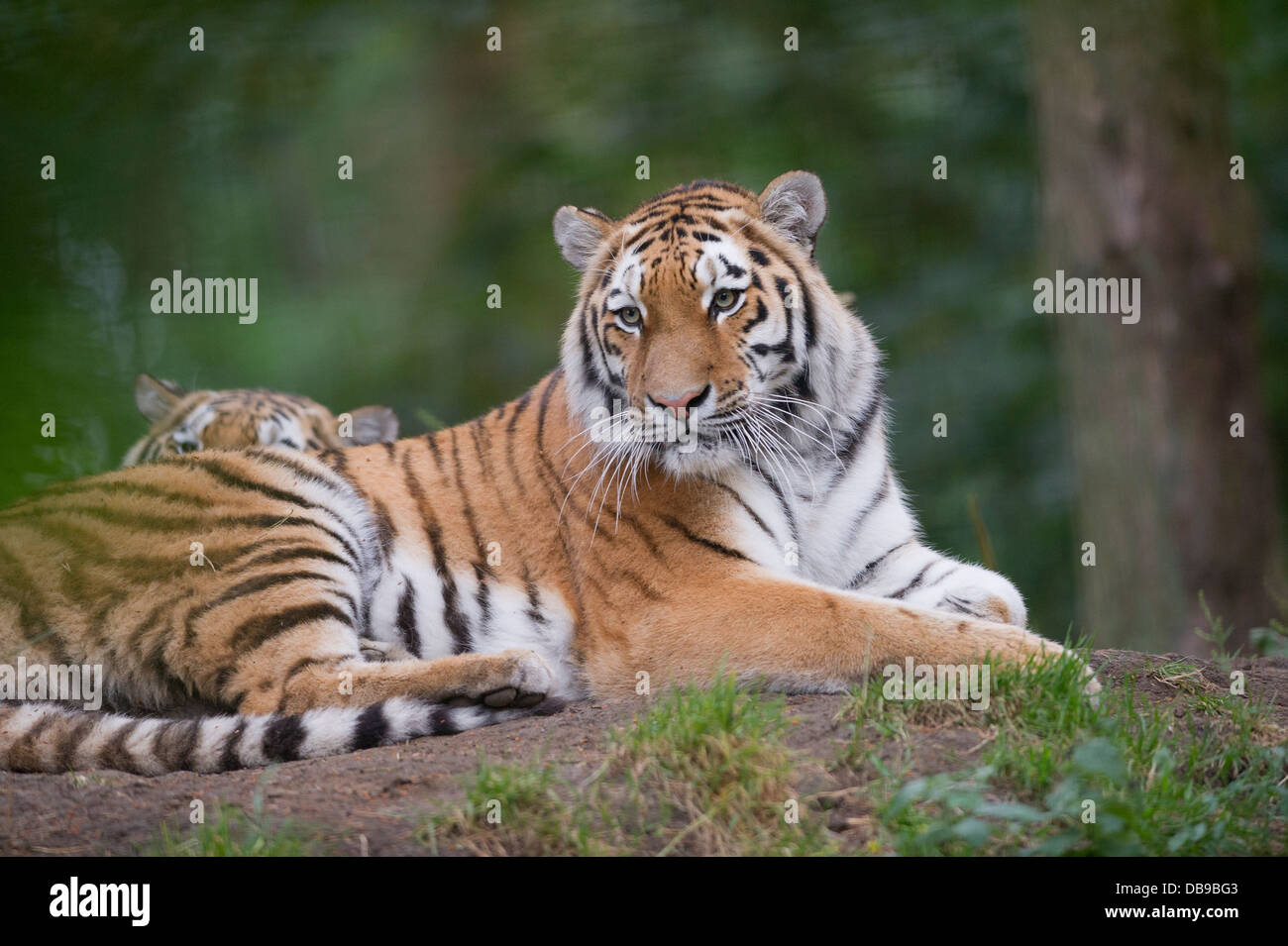 Siberian tiger (Panthera tigris altaica), also known as the Amur tiger - Stock Image