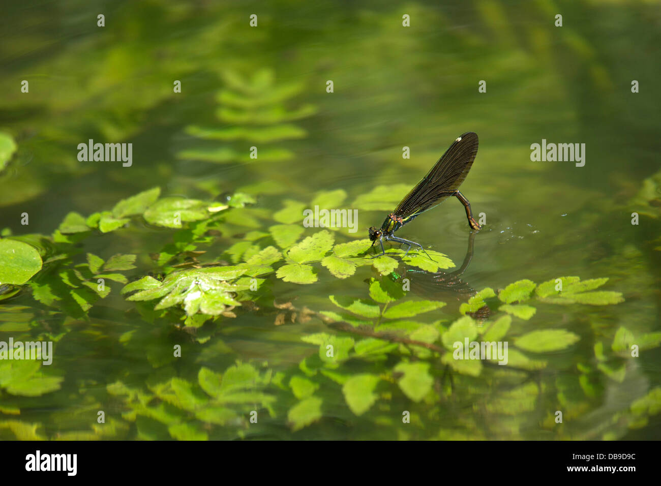 A damselfly laying eggs in the water - Stock Image