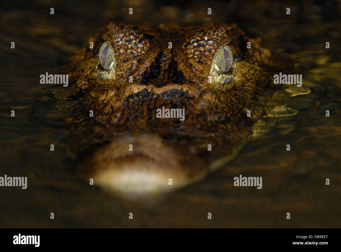 Spectacled Caiman (Caiman crocodilus) in Tortuguero National Park, Costa Rica. - Stock Image