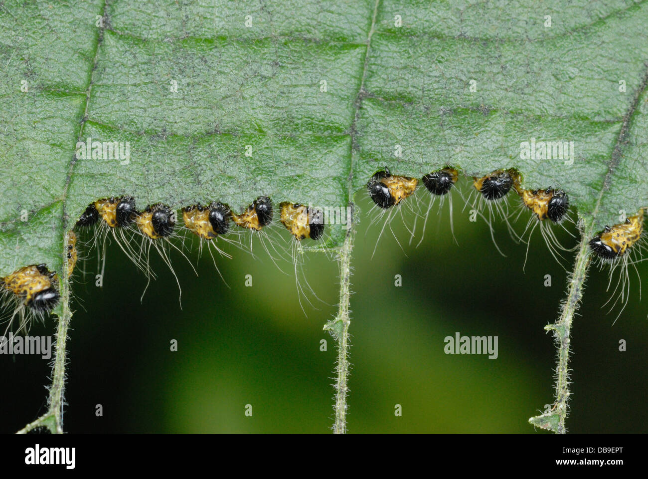 Young Buff-tip Moth caterpillars (Phalera bucephala) feeding - Stock Image