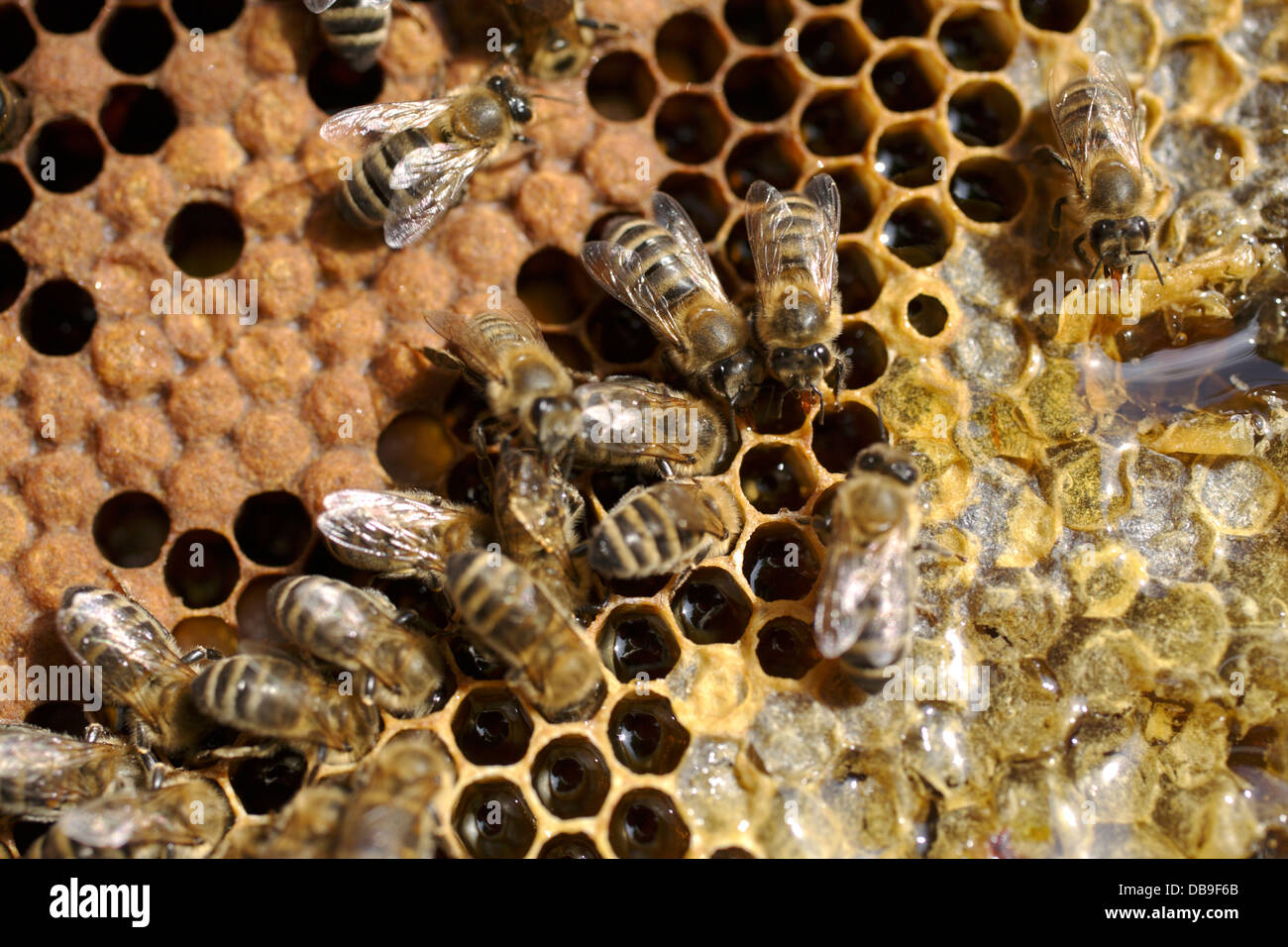 partially capped honeycomb with bees - Stock Image